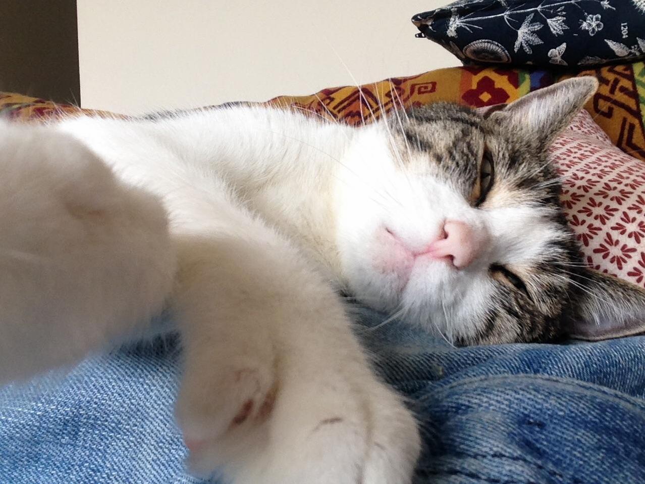 Jackson cat