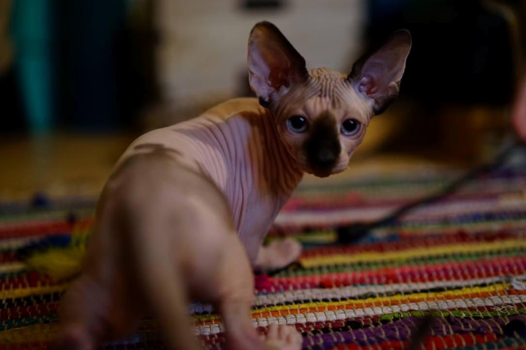 Meet gizmo aka neil catrick hairless
