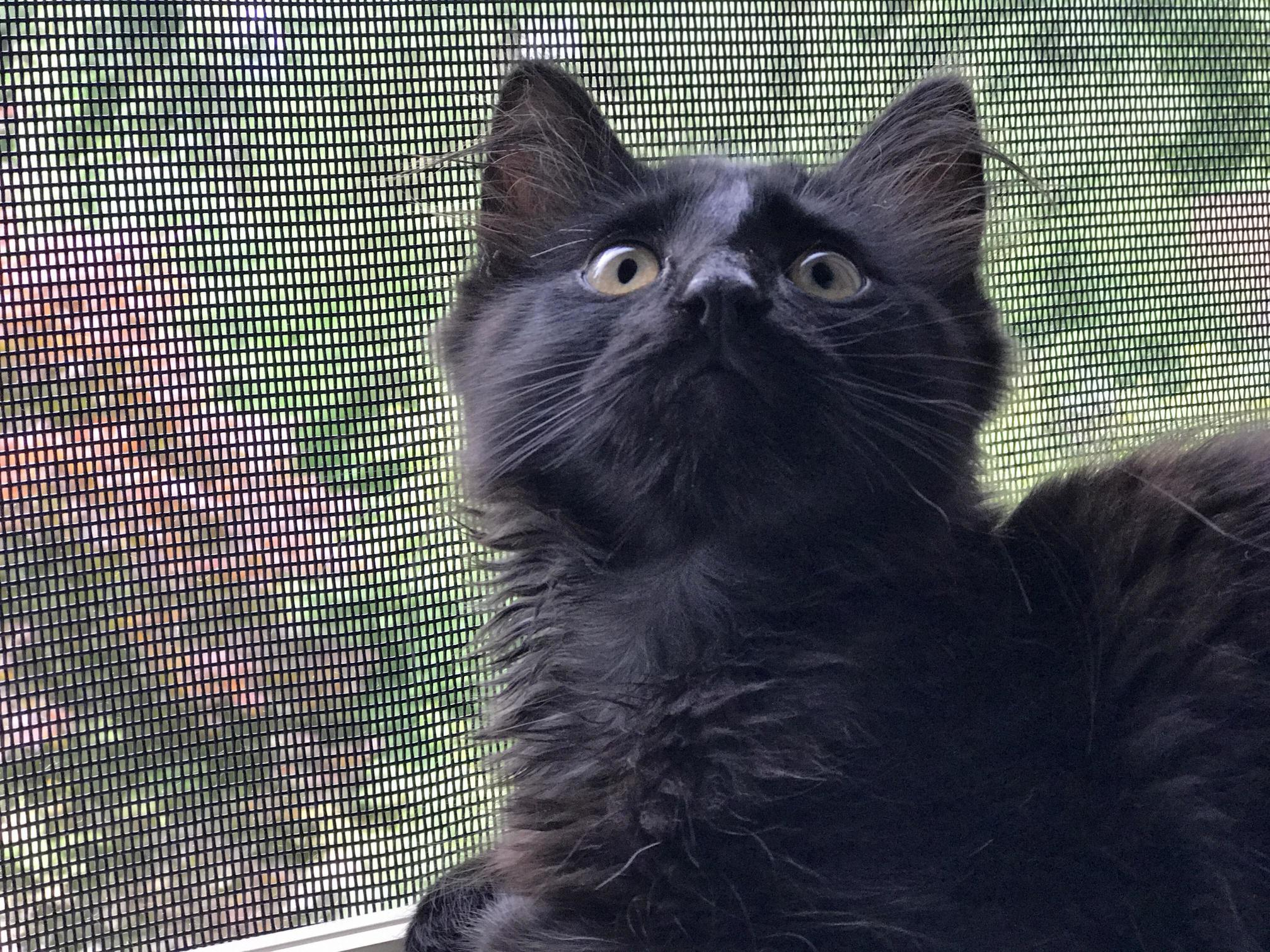 Meet sirius our new rescue kitten
