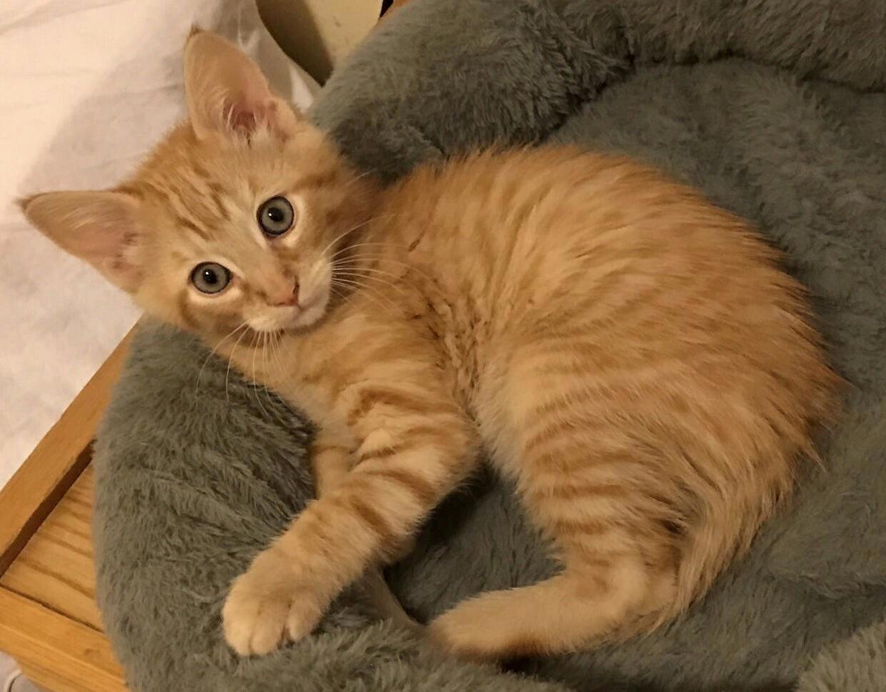 My new kitten oliver. i ve had him a little over two weeks now and i still cant get over his cuteness