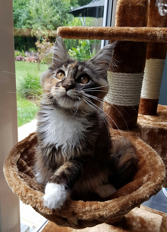 Our maine coon mia