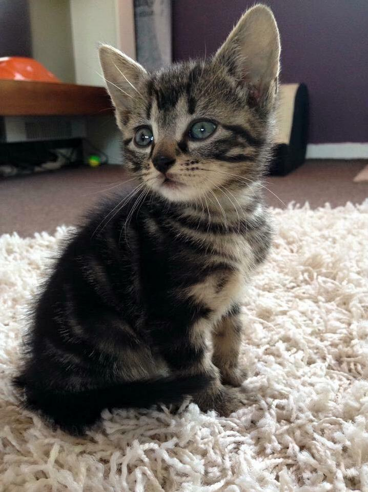 Princess zelda – my little kitten the day i brought her home.