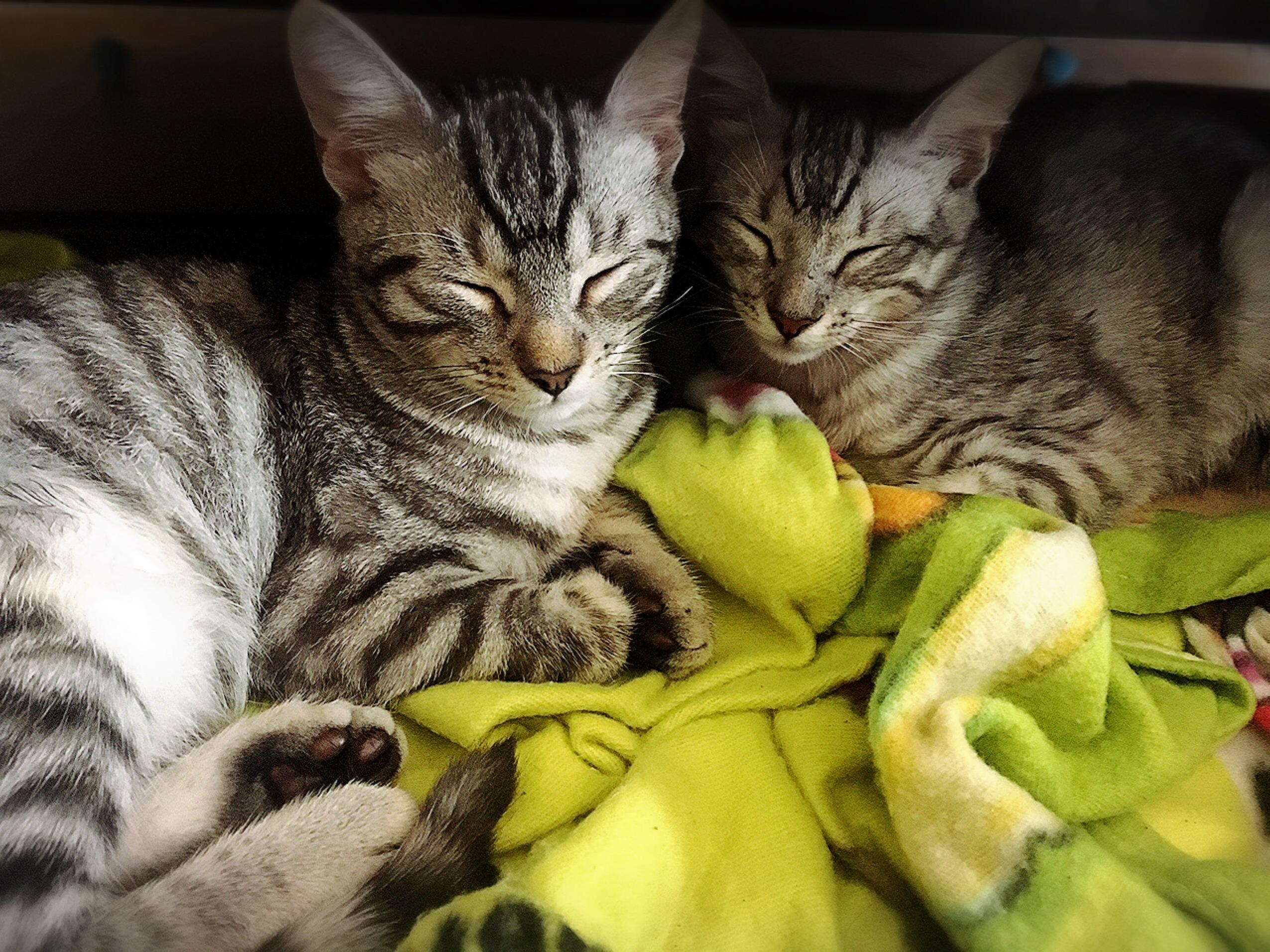 Just adopted 4 mo tigers cloud and storm