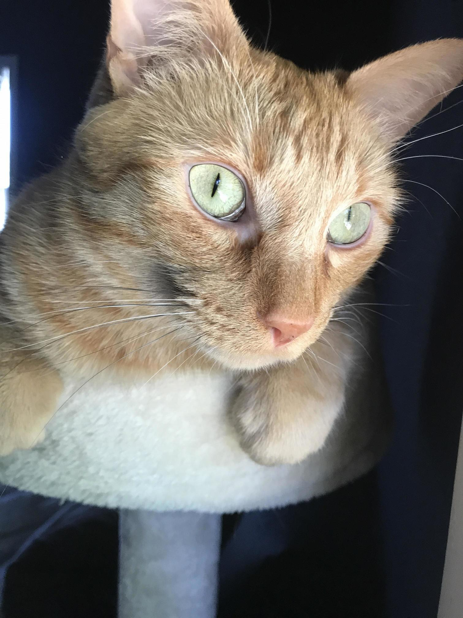 My youngest cat radius named after him being born without a radius bone in his paw sitting up on his tower staring at the outside world in front of him.
