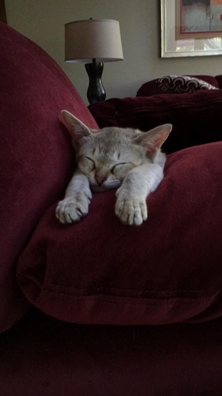 Speedy decided to nap like this singapura