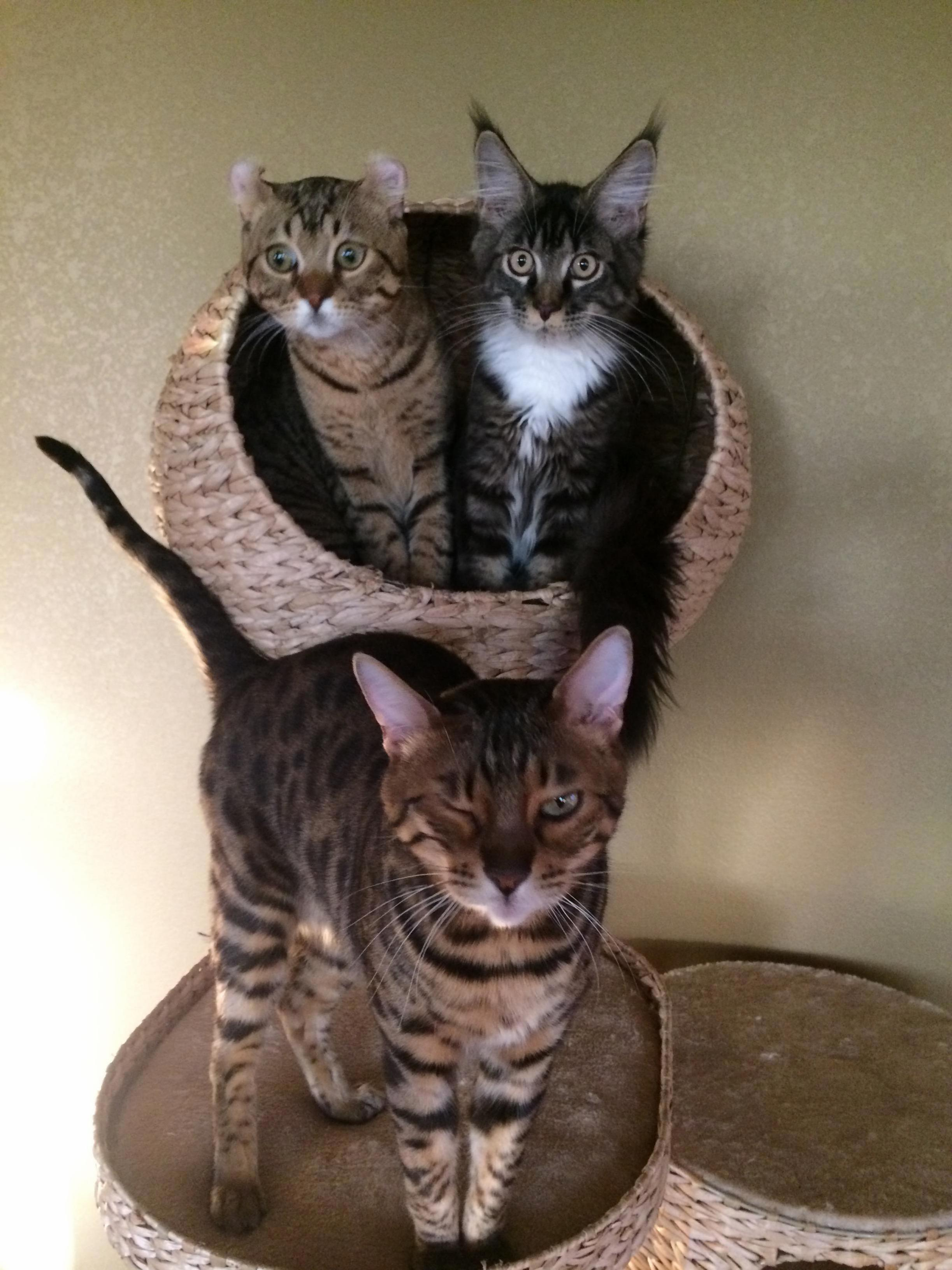 The three mouseketeers enjoying the new cat tree.