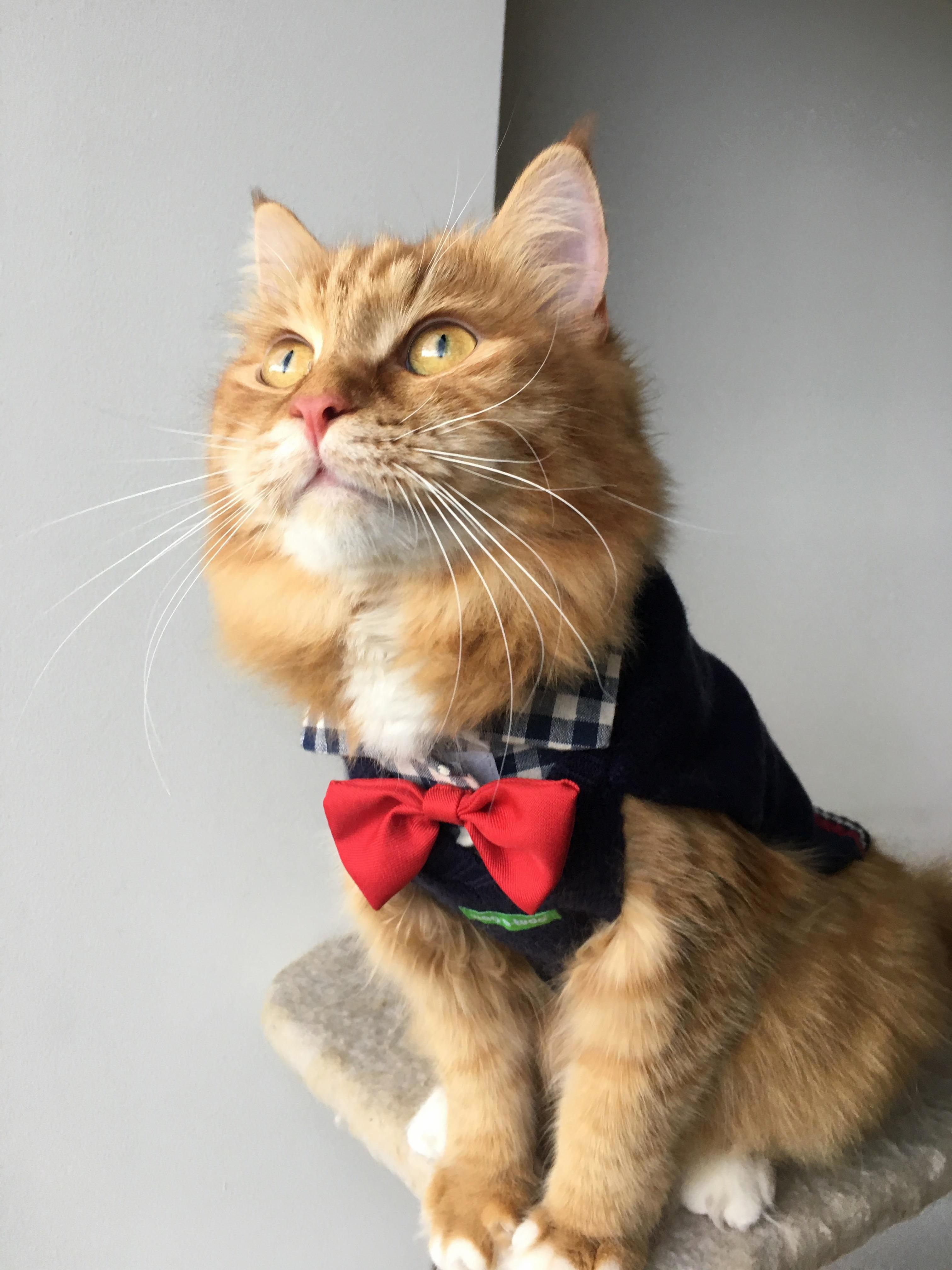 Toots cat all dressed up