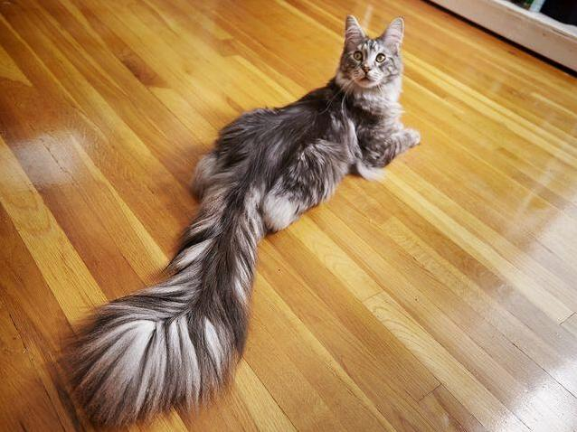 Congratulations to cygnus on your 2018 world record for longest cat tail!