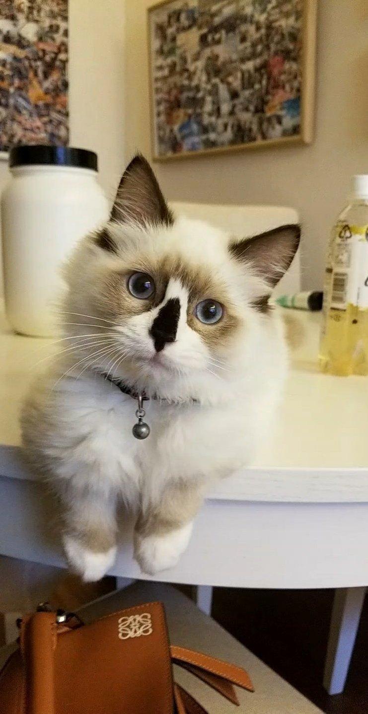My handsome little ragdoll, mocha @ 4.5 months