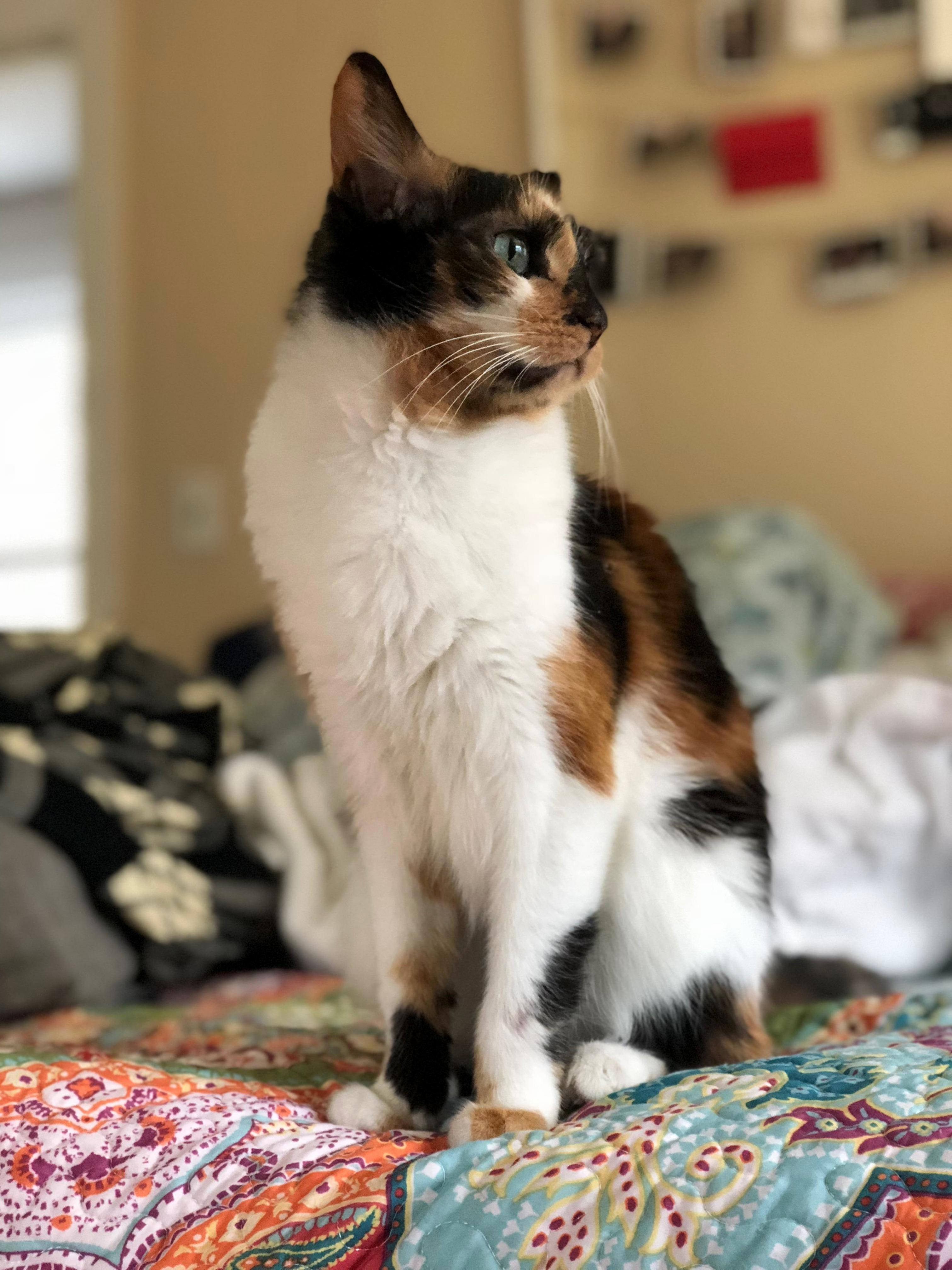 My sweet calico is looking forward to her birthday