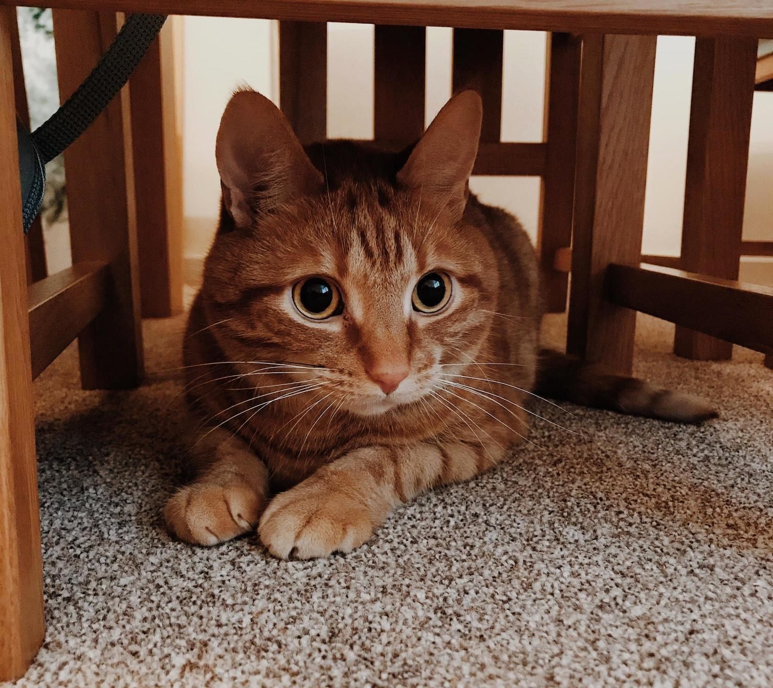 Watching a shoelace intently from his hiding spot under the table