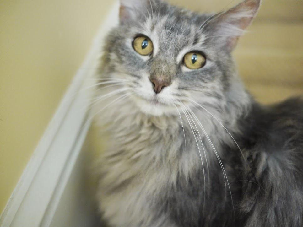Gray maine coon, shelby, wondering why im taking a picture of her.