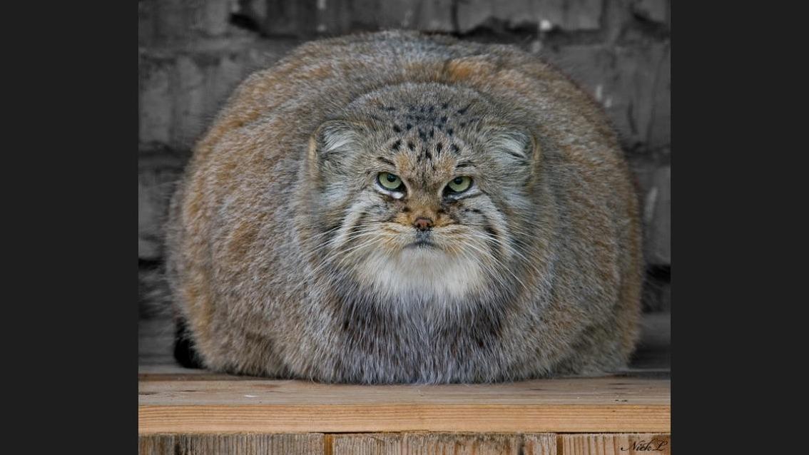 The pallas cat of kyrgyzstan 