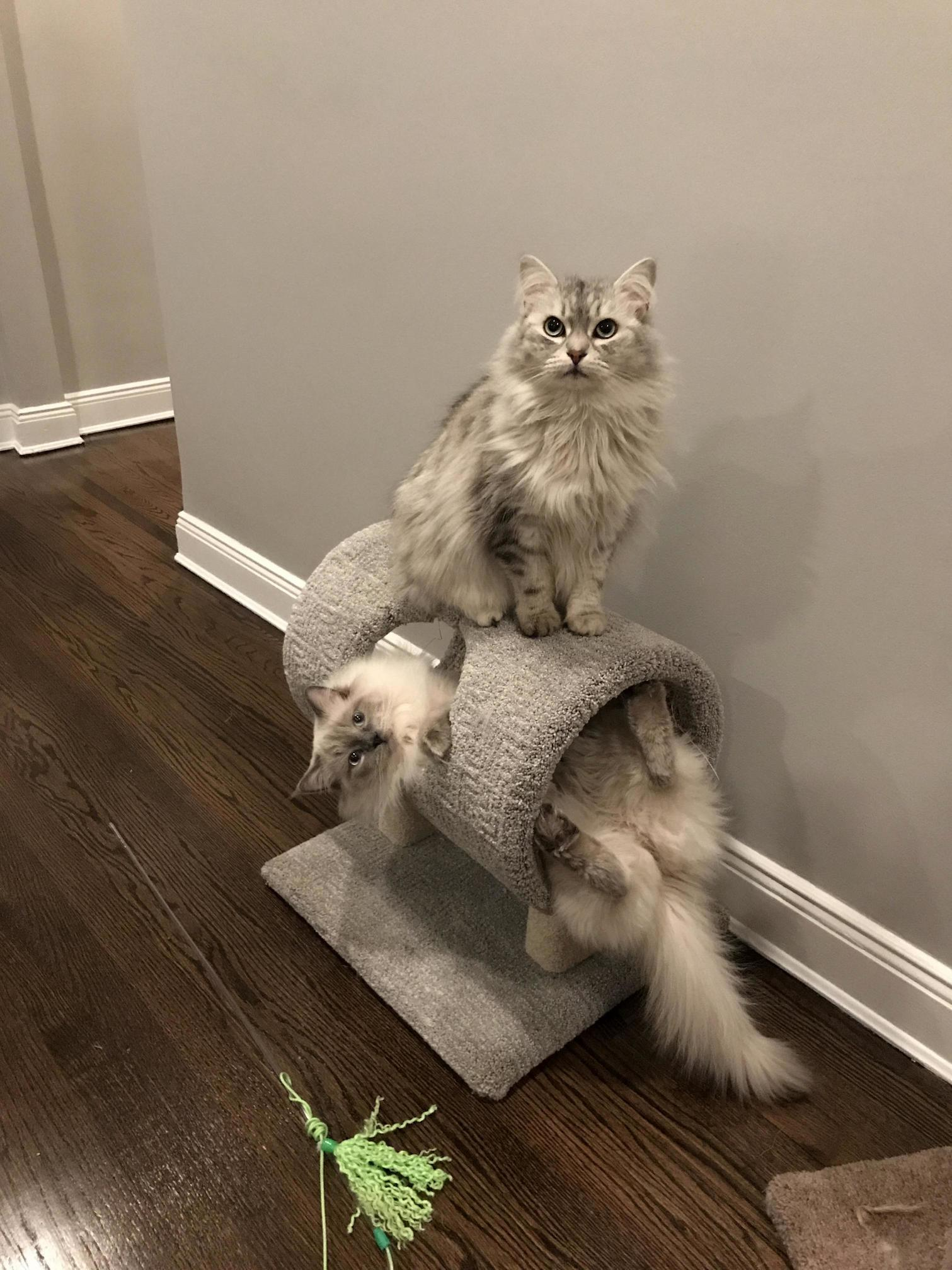 Two good looking guys just hanging out. siberian and ragdoll