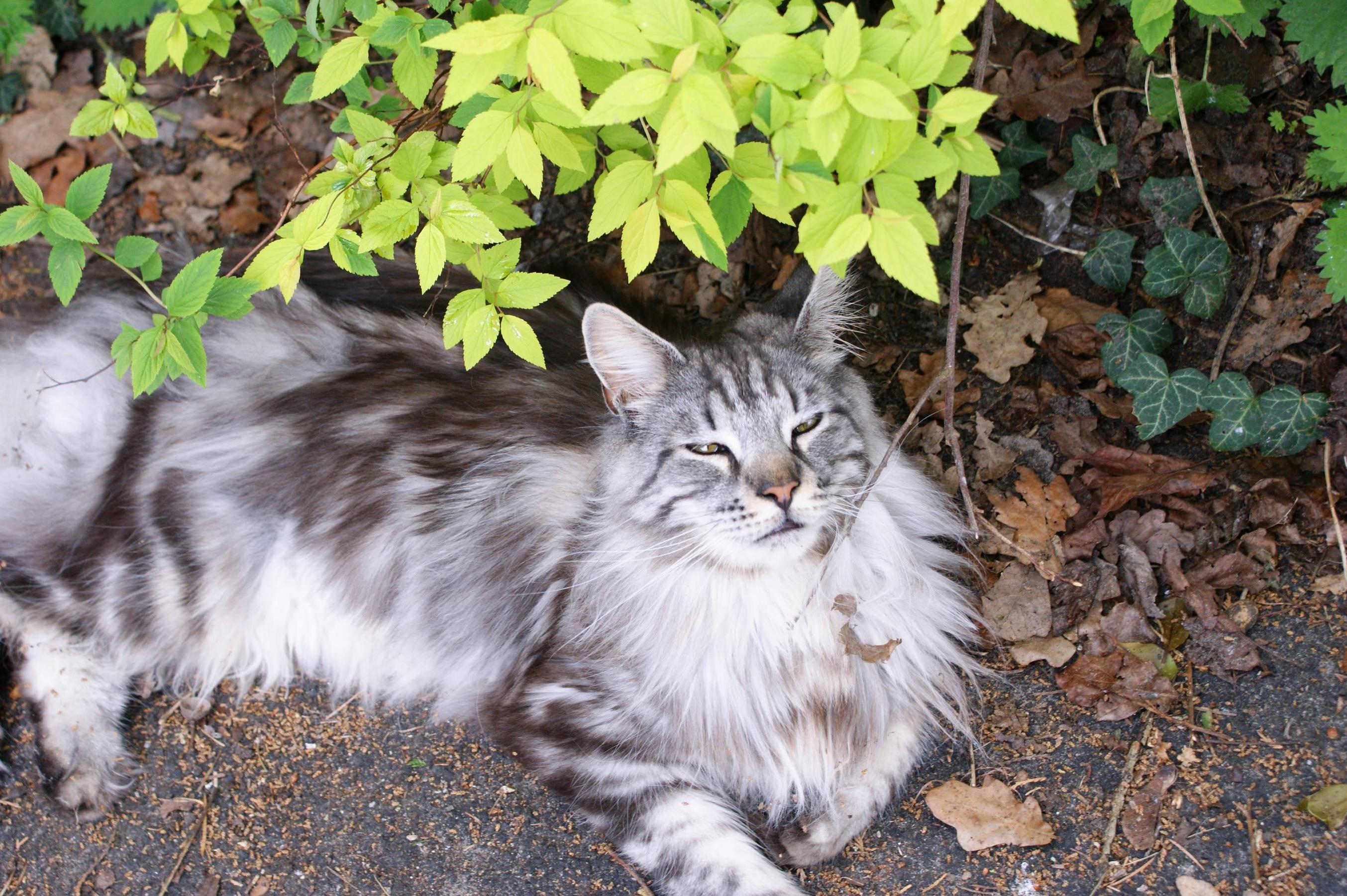 Chewie the elegant and regal maine coon
