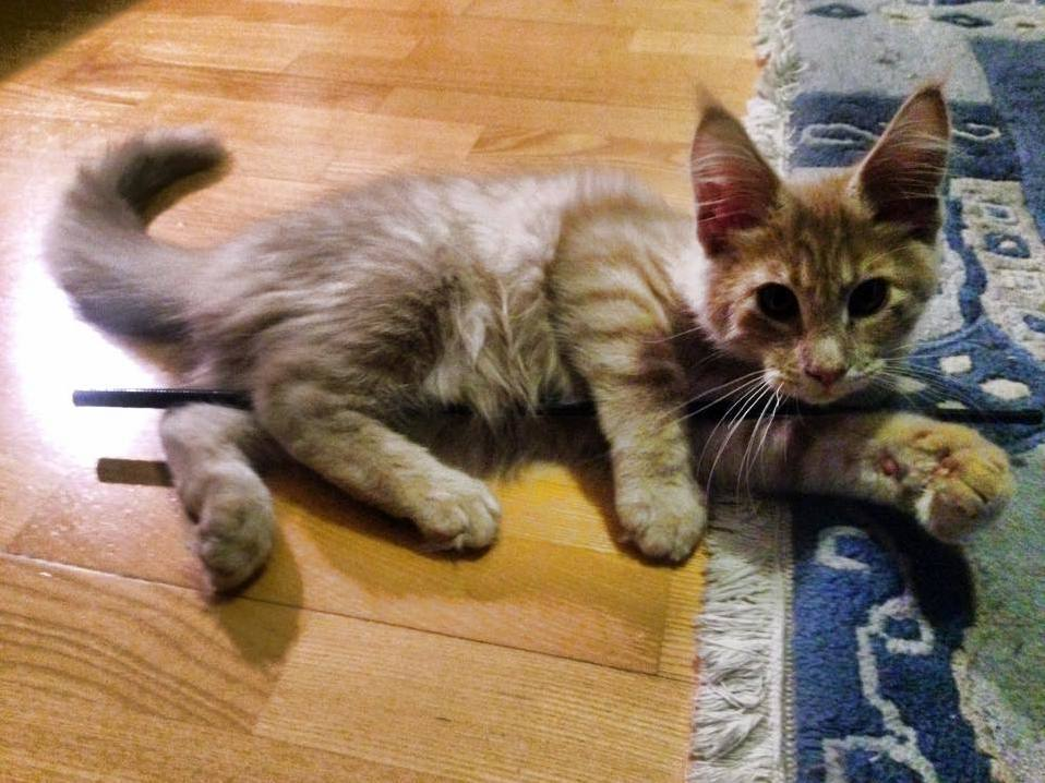 My maine coon kitten is a pole dancer