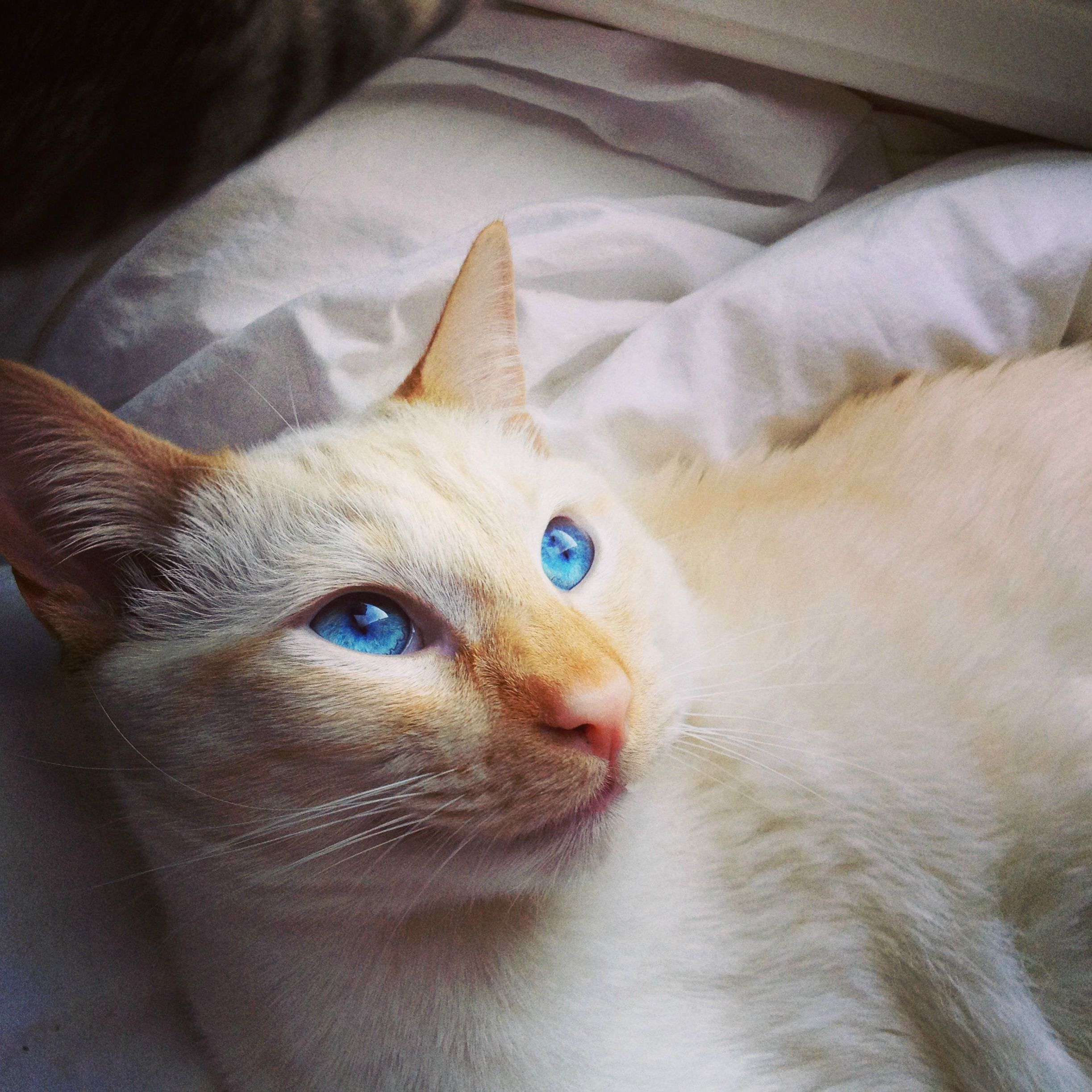 This is cessna. my one year old flame point siamese.