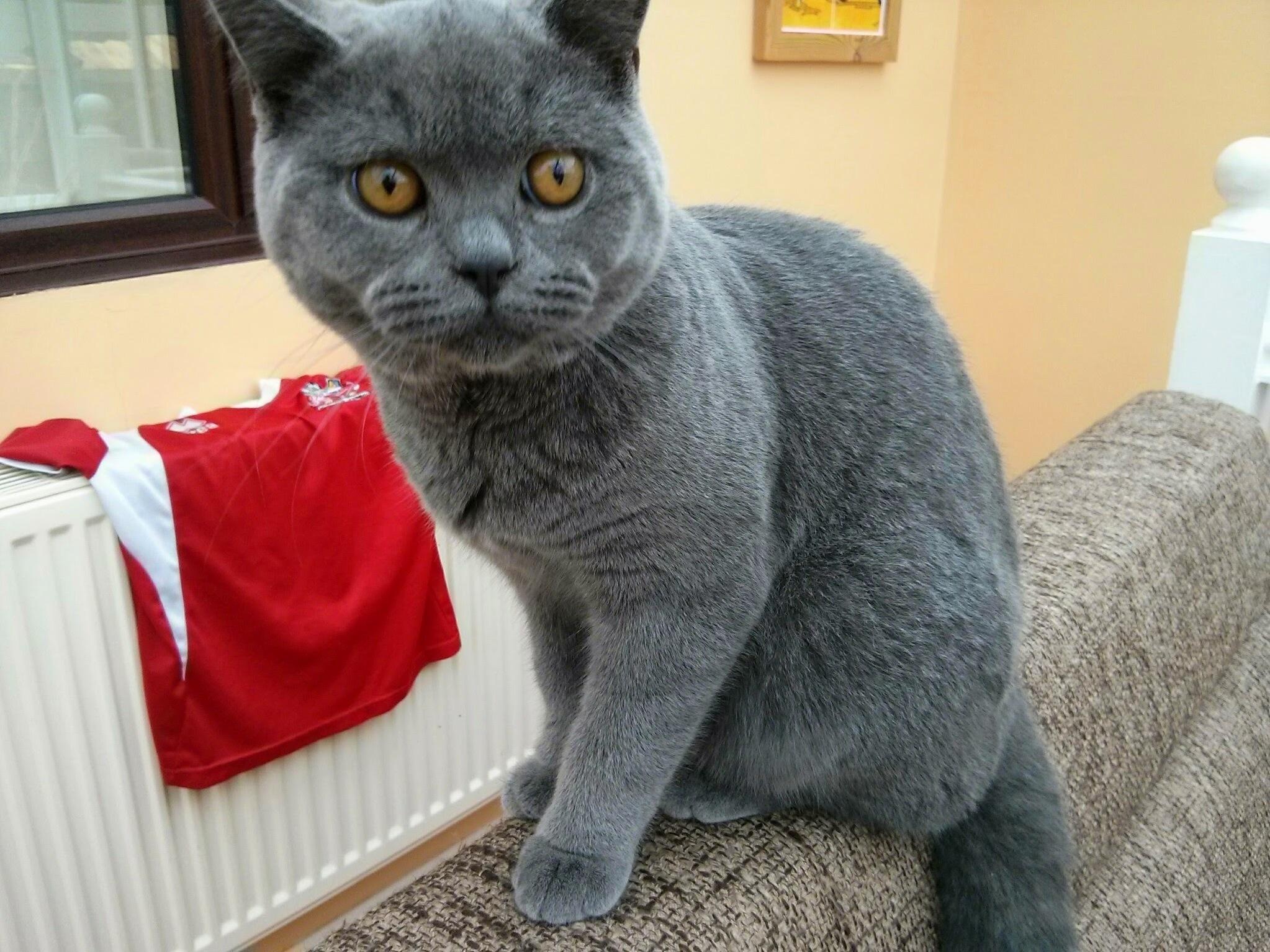 This is garak. hes a british blue.