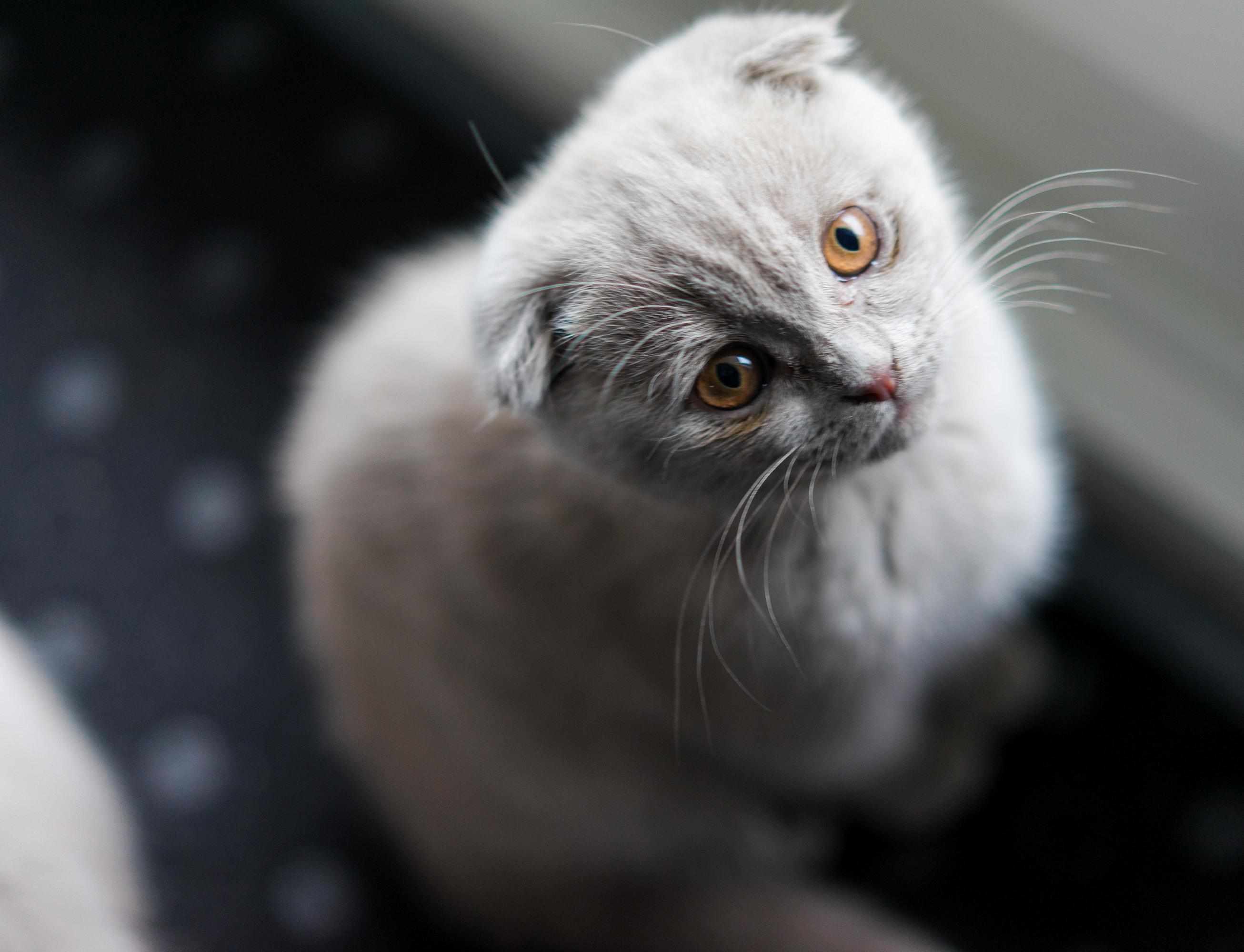 This is snow, 13 weeks old scottish fold