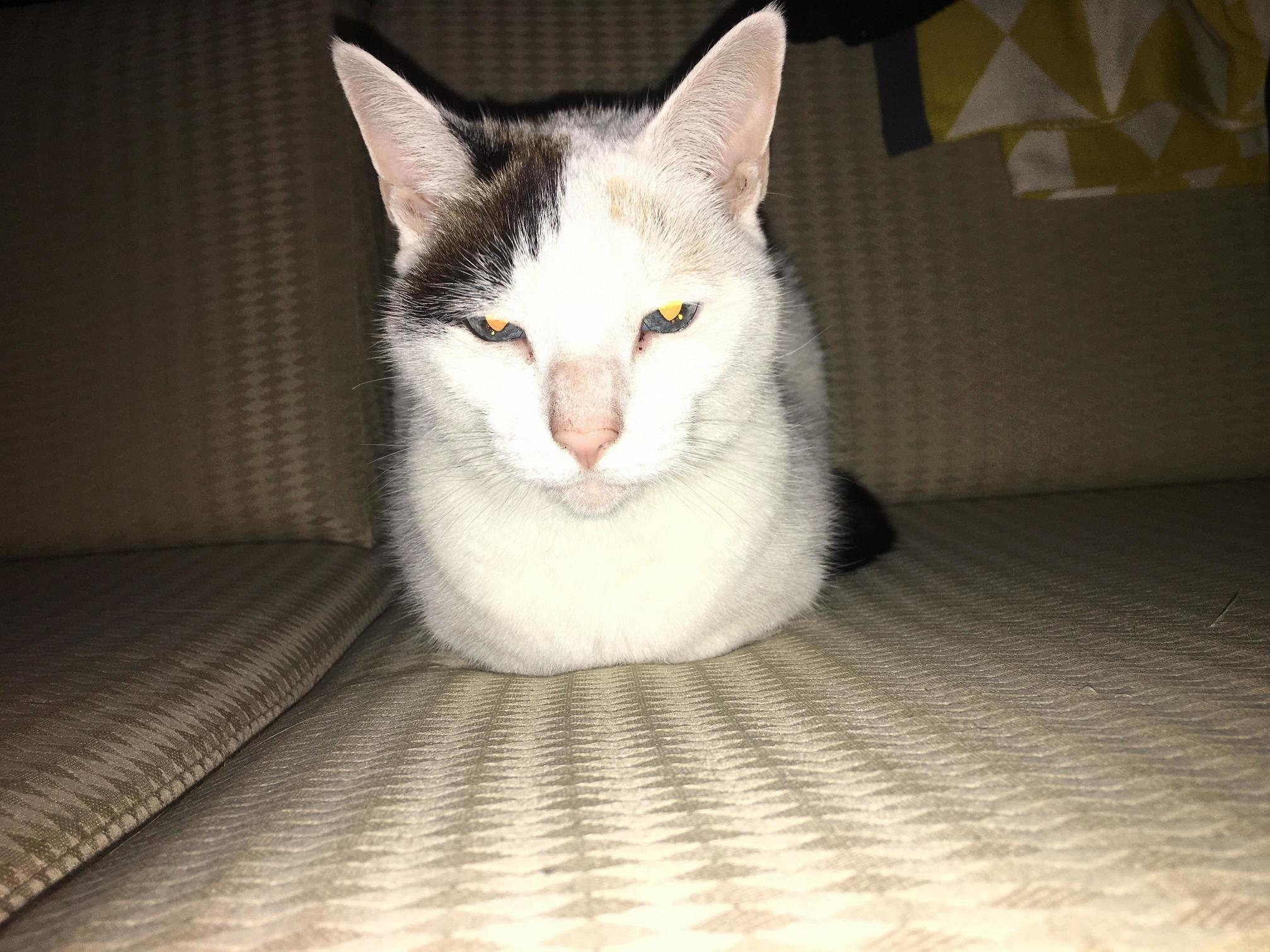 Mayhem is 8 years old with blue eyes and does a good loaf.