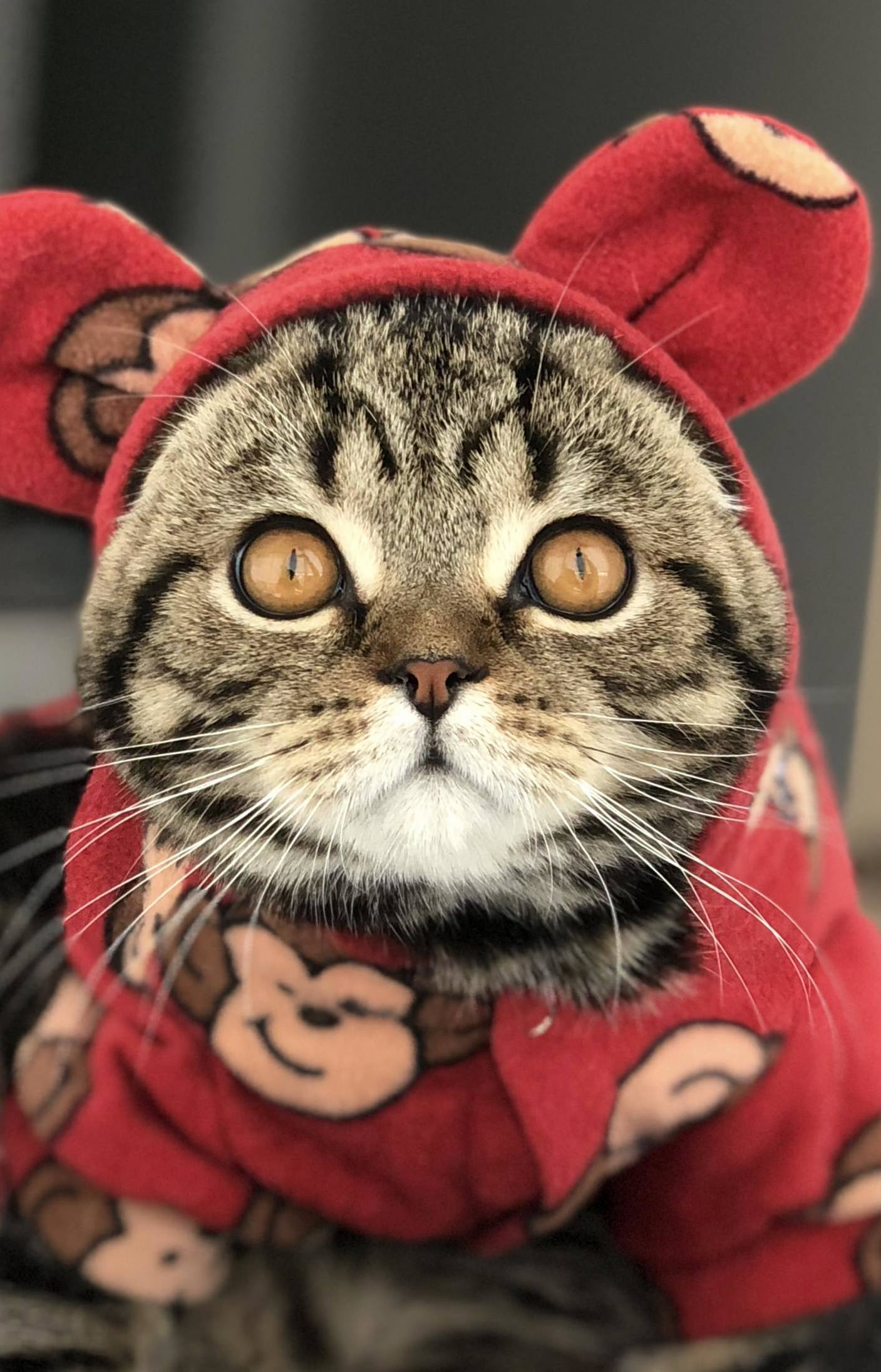 My guy walle. hes a scottish fold, so ears come seperatly…