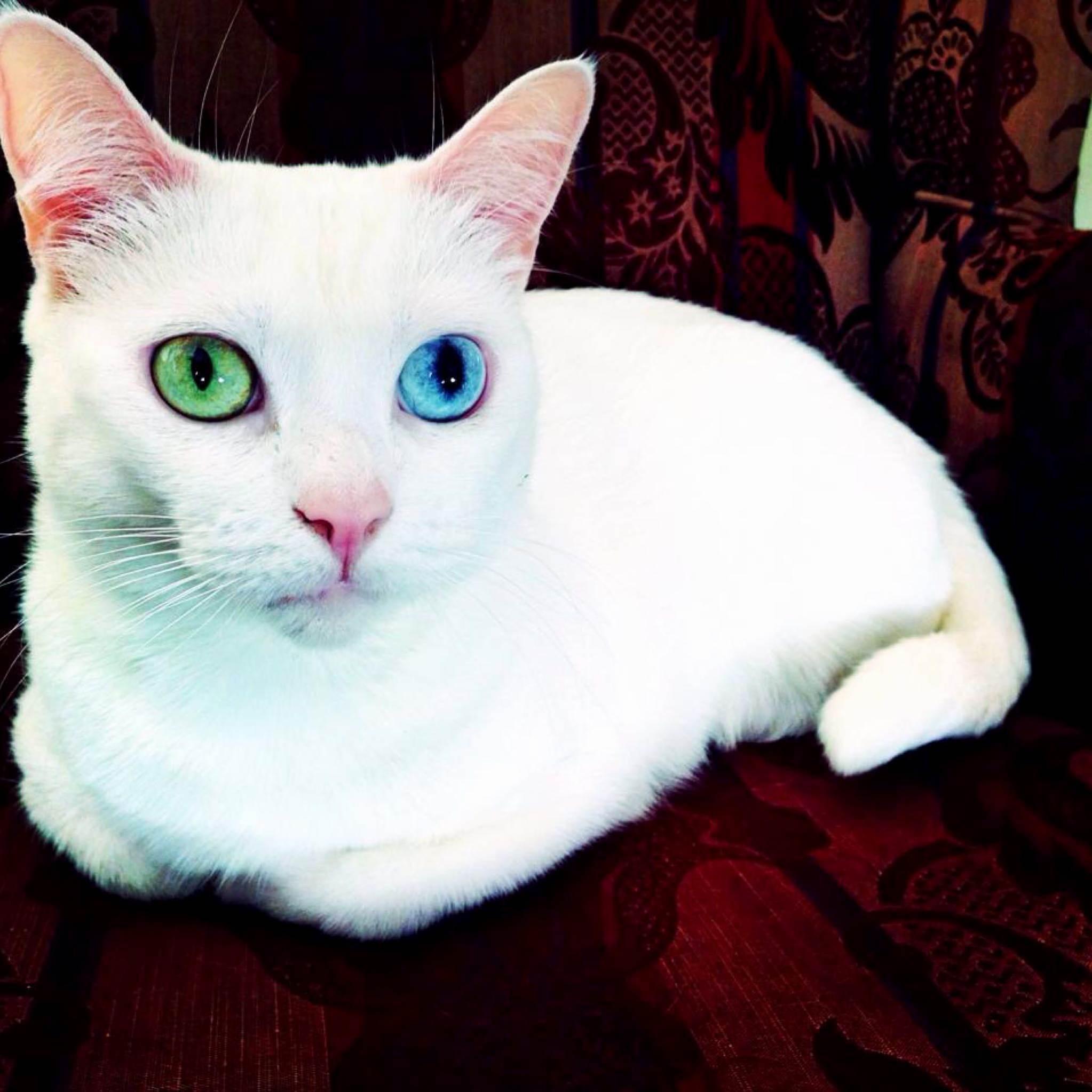 October the heterochromiac cat and her fancy eyeballs
