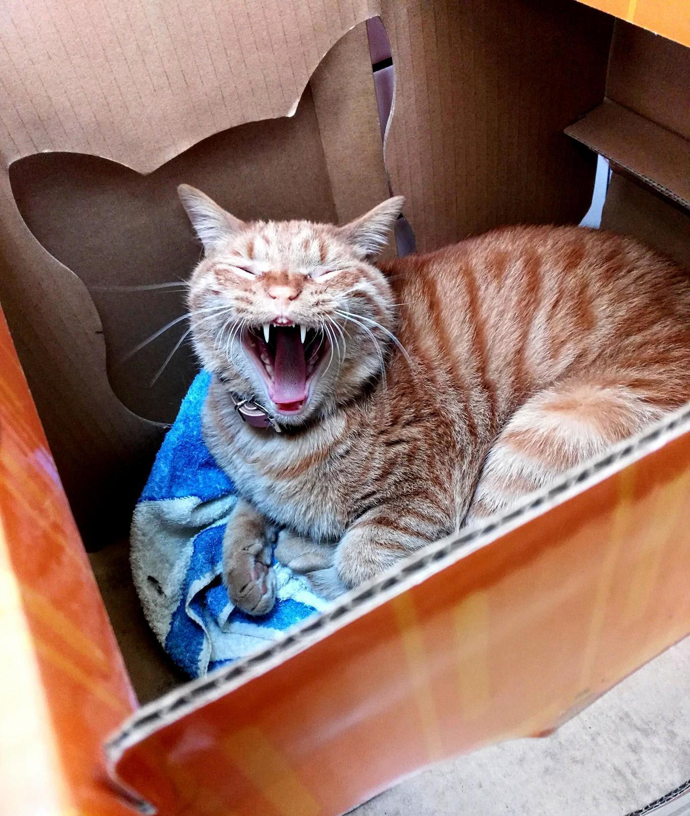 Percy the cafe cat is loving my jokes. definitely laughing. not yawning. 100% not yawning….
