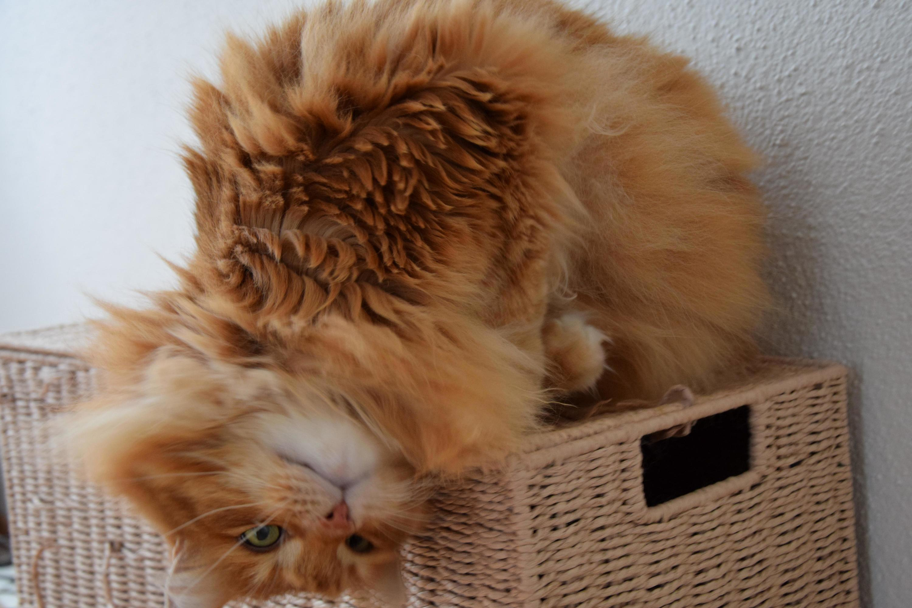 This is higgins, one of my norwegian forest cats. love his posture in the picture xd