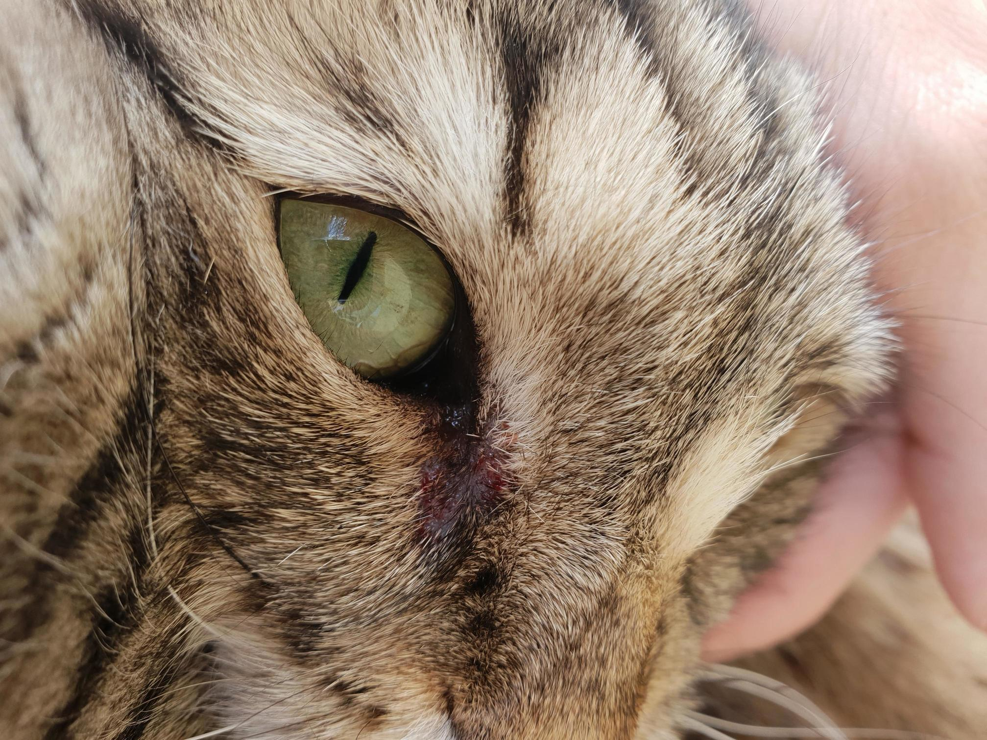 This morning, my cat struggled to open his right eye. now he has blood next to the eye. anyone knows why 