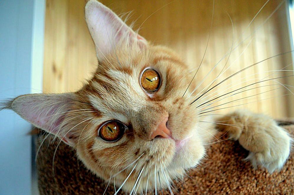 Tiffanys cat. beautiful eye. amber.