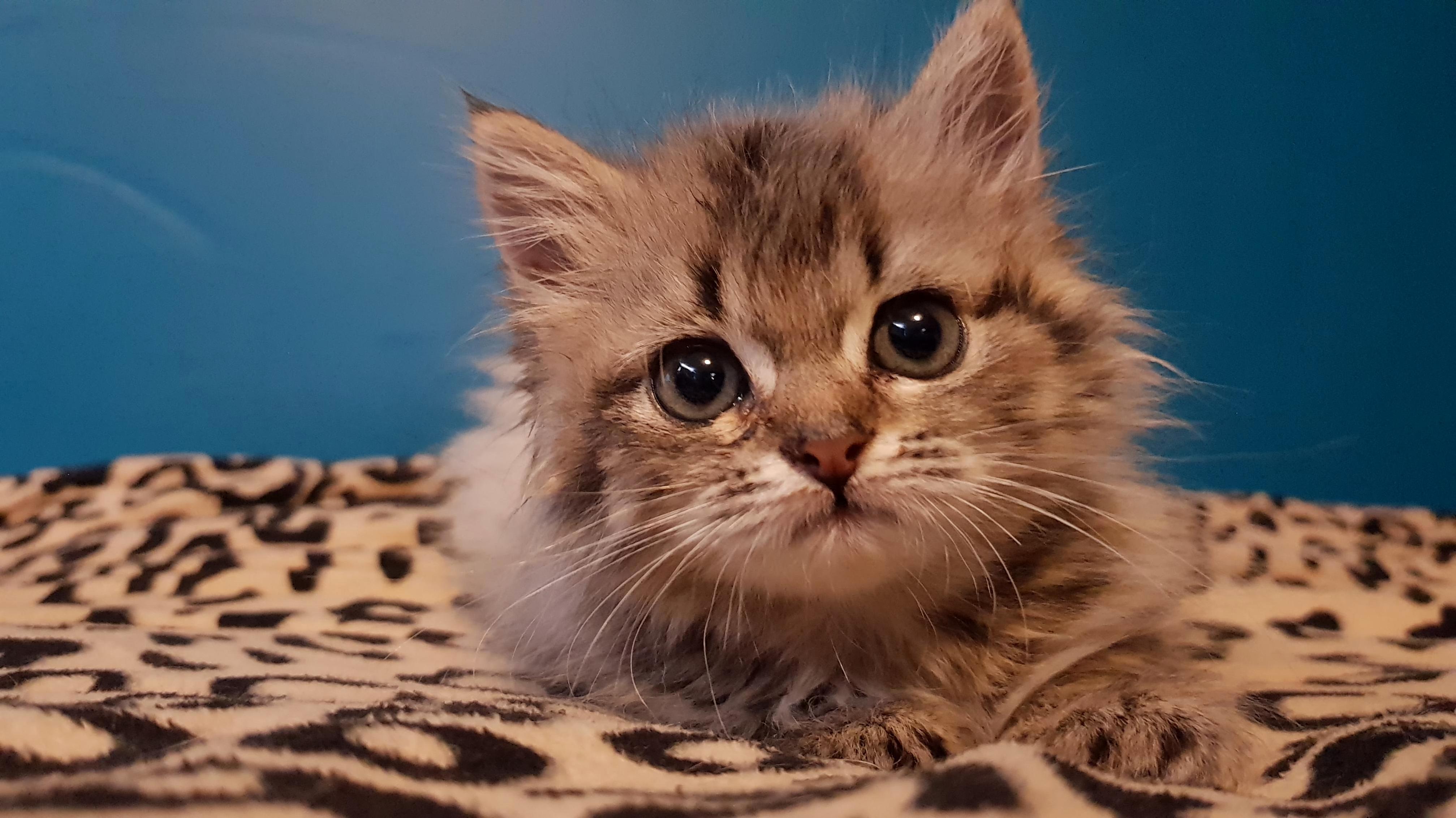 5 week old foster kitten named beachball 