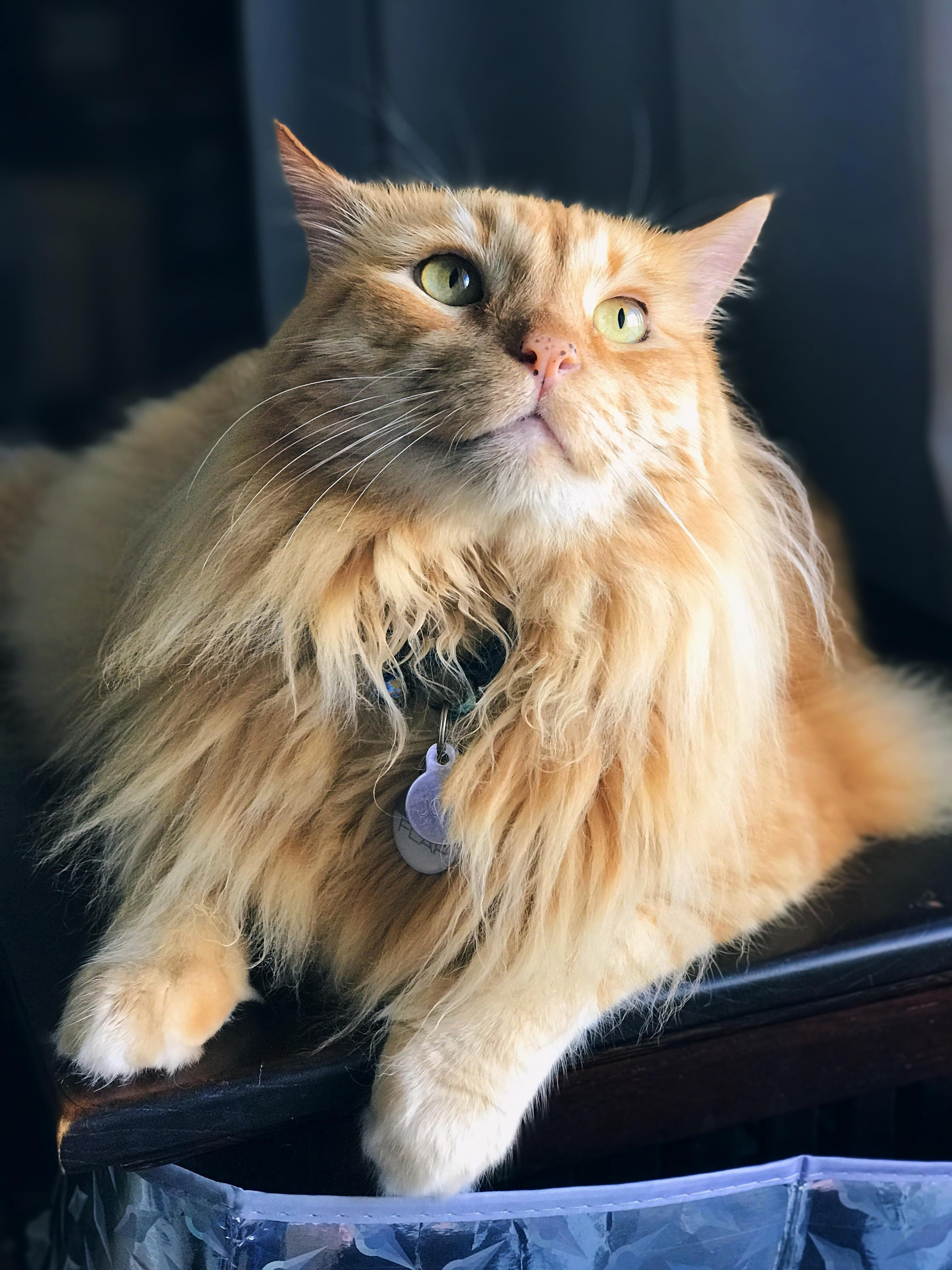 Joey, my majestic lion! 10 years old and counting, still as fluffy as ever