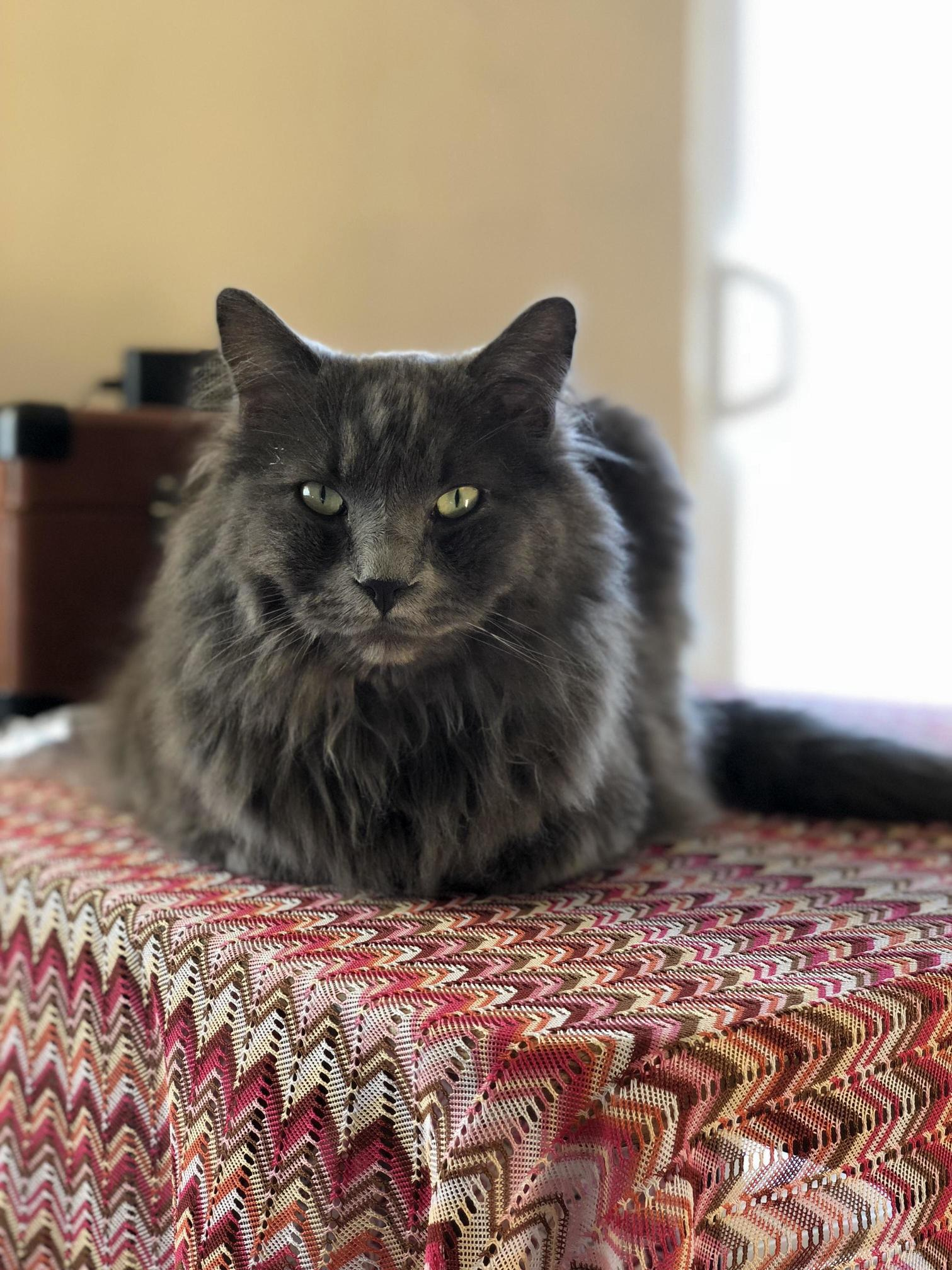 Meet rayne. the floofiest and angriest of all cats.