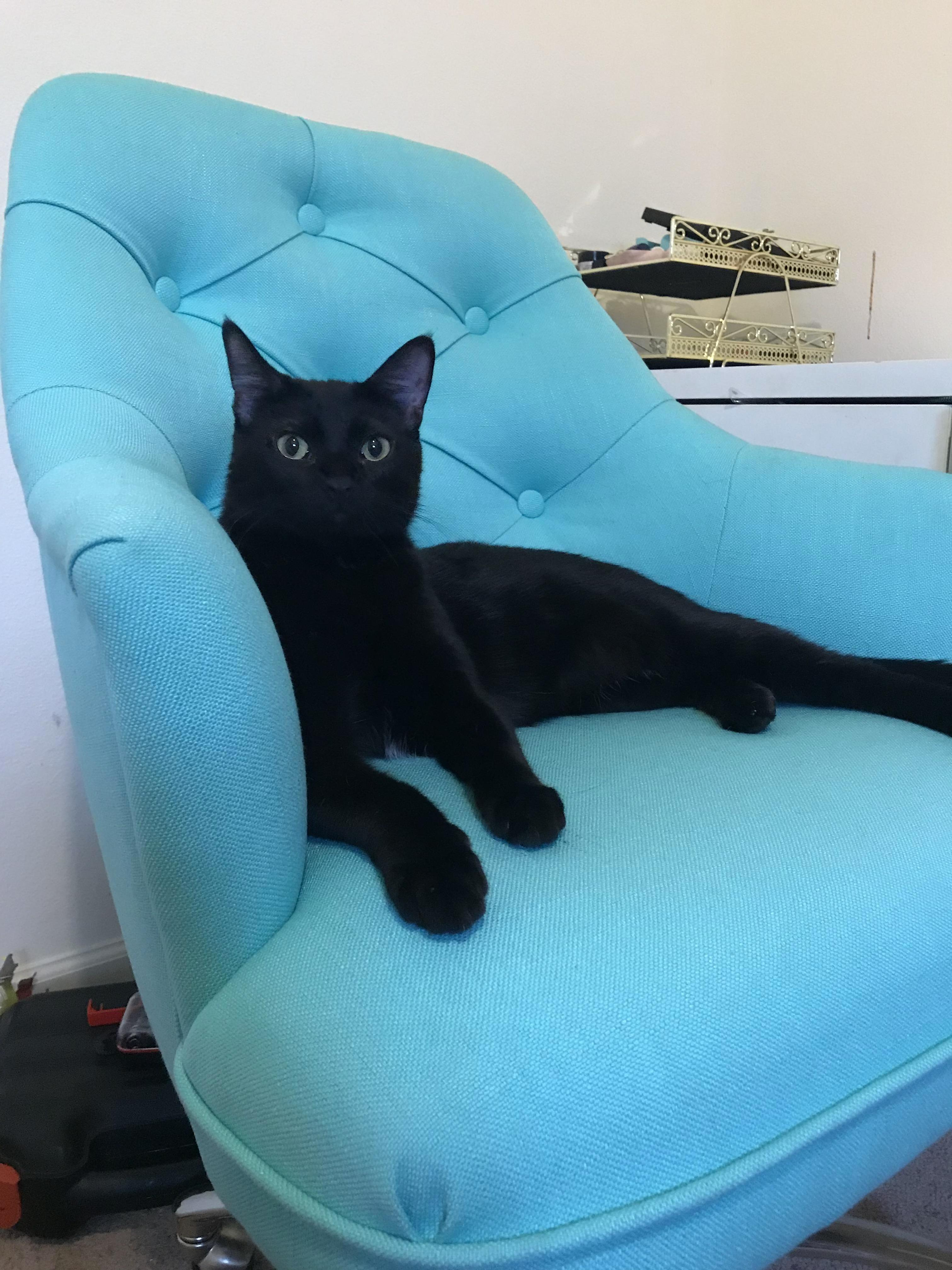 Had to be first in moms new chair. mufasa is king of all he surveys.
