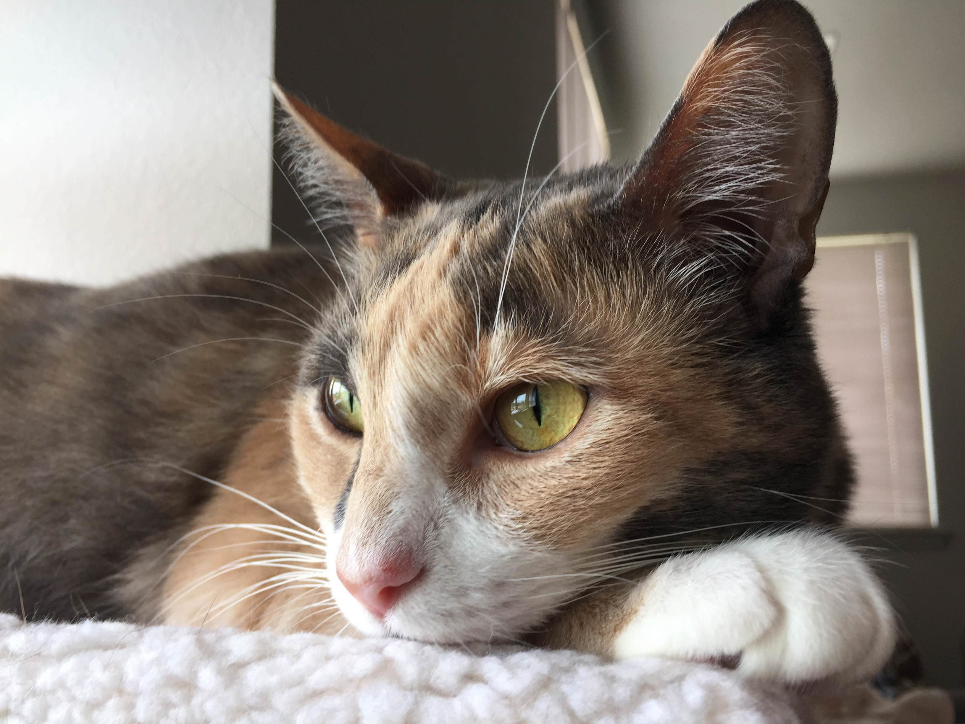Meet our diluted tortie, mina!