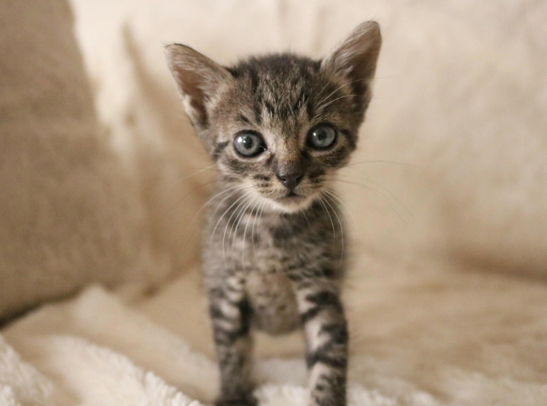 My foster kitten, olive
