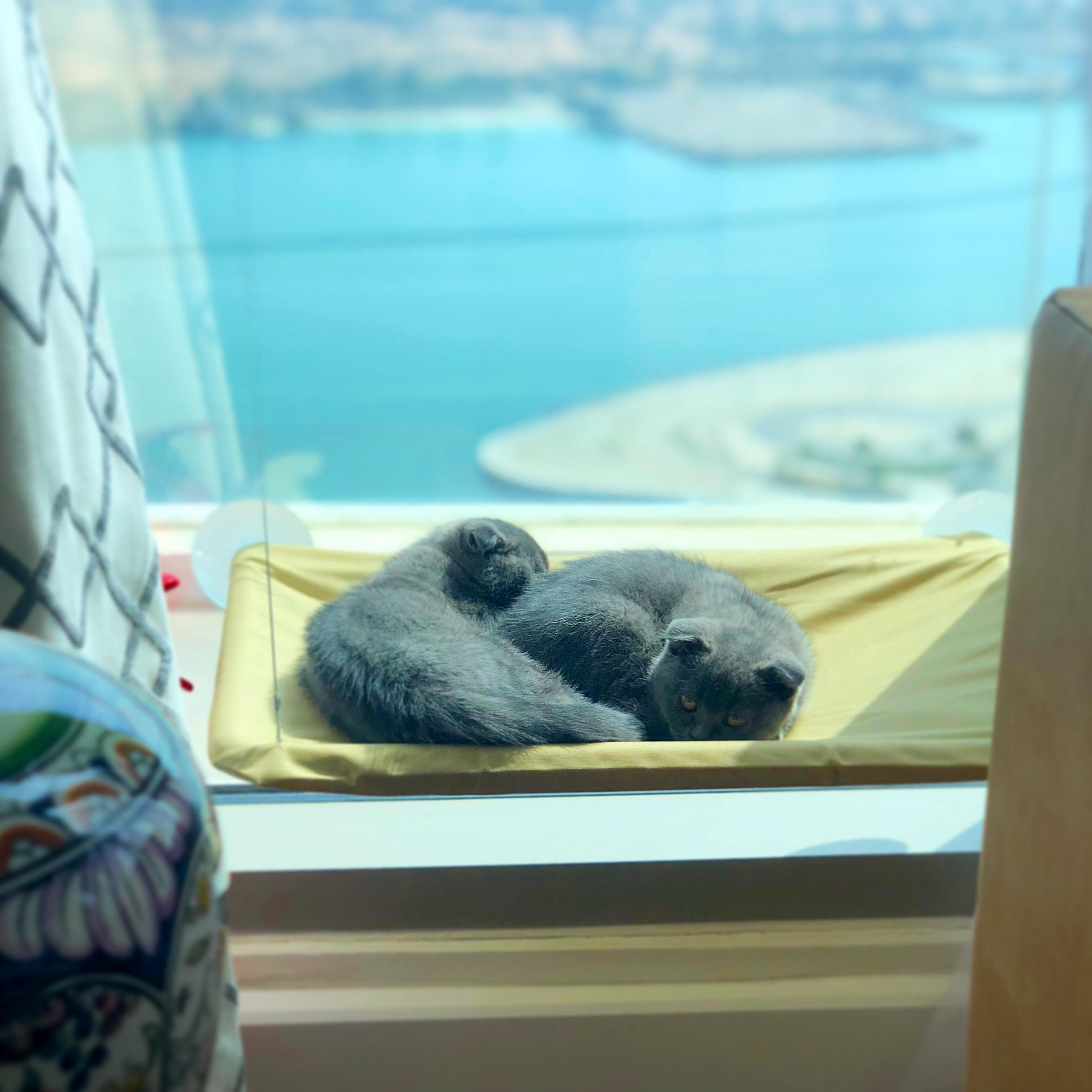 Our scottish fold babies enjoying the view and sun from their window perch