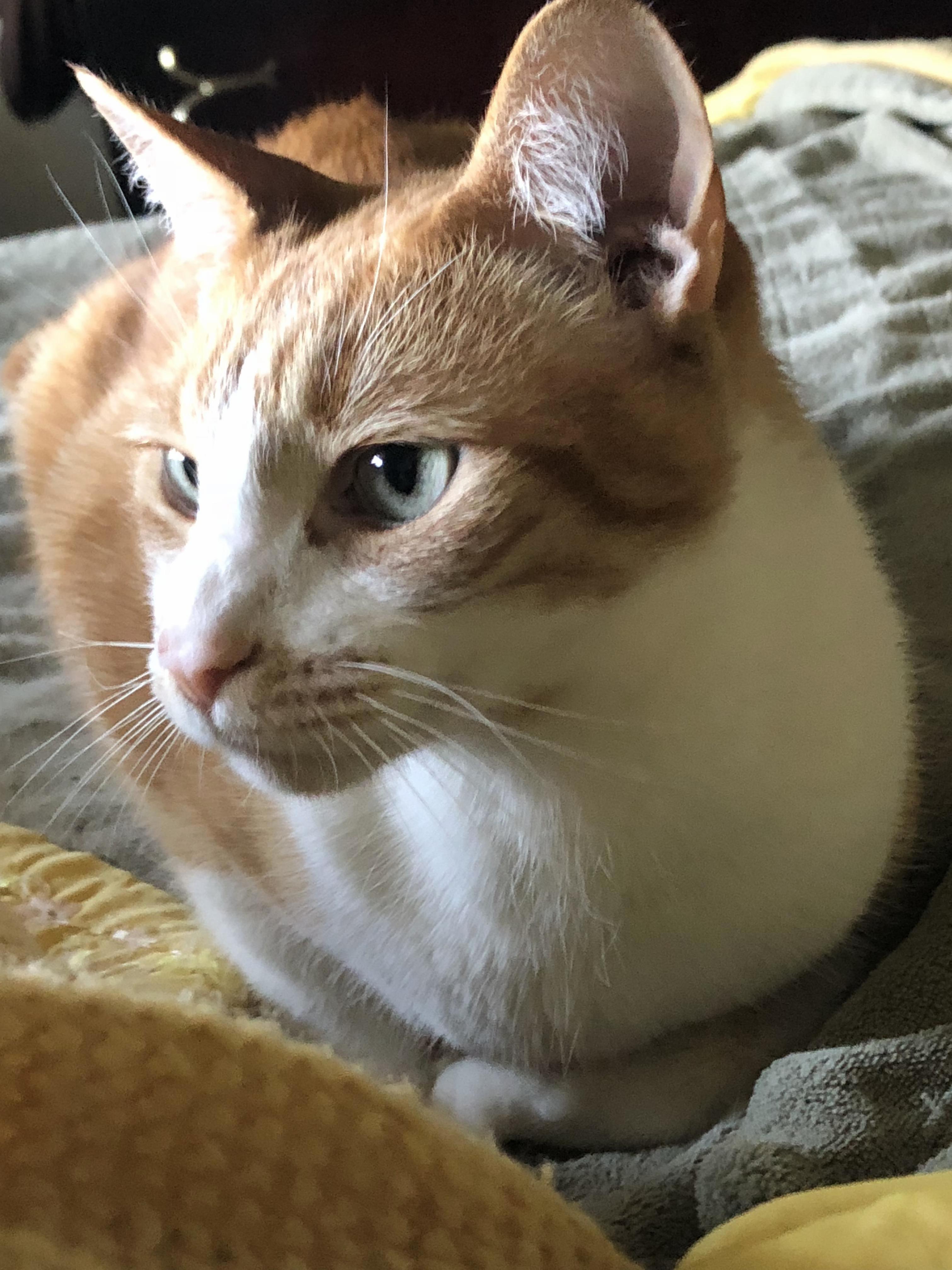 Maximus catticus