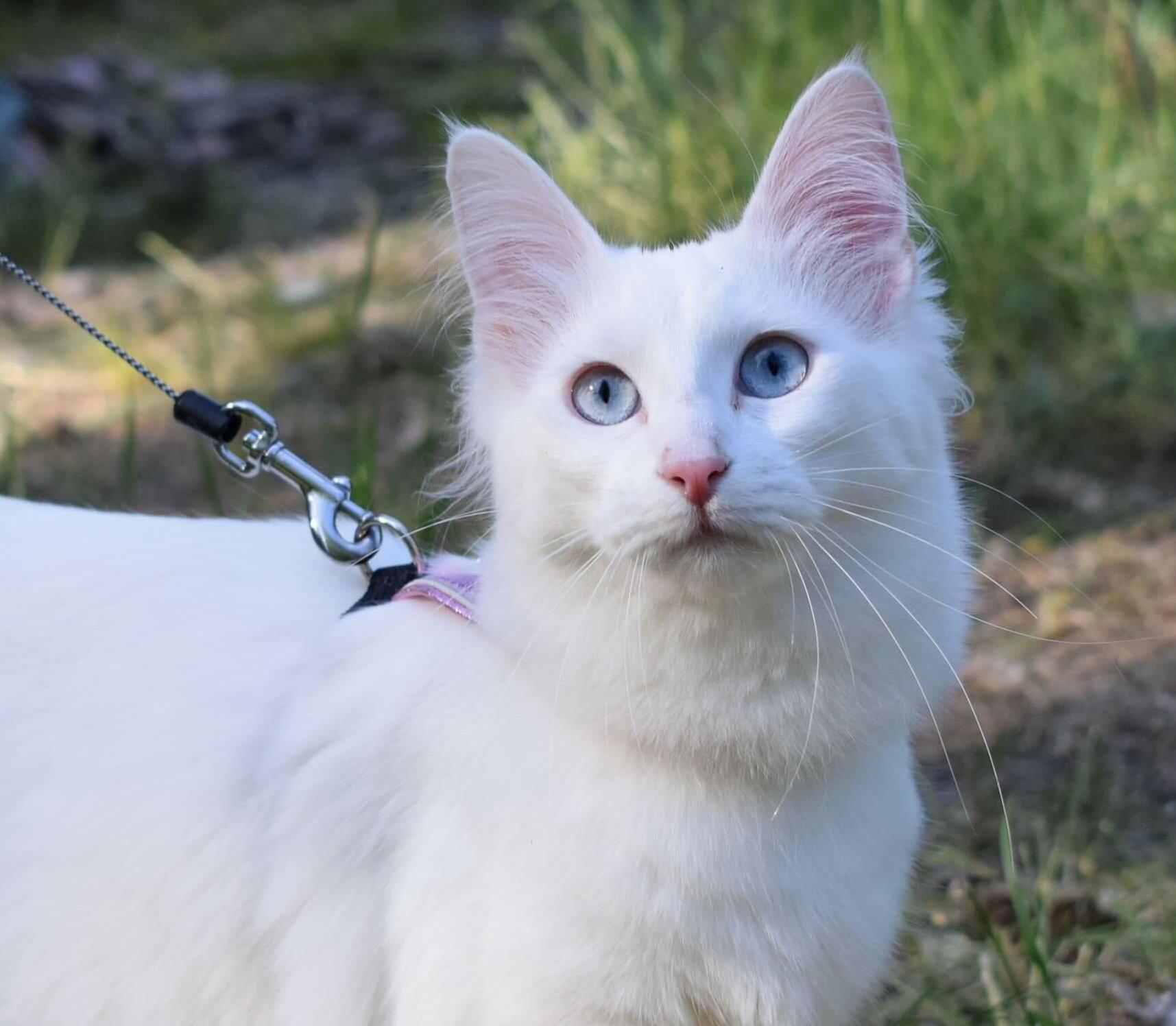 This is my one year old turkish angora safiya. she is absolutely gorgeous! 