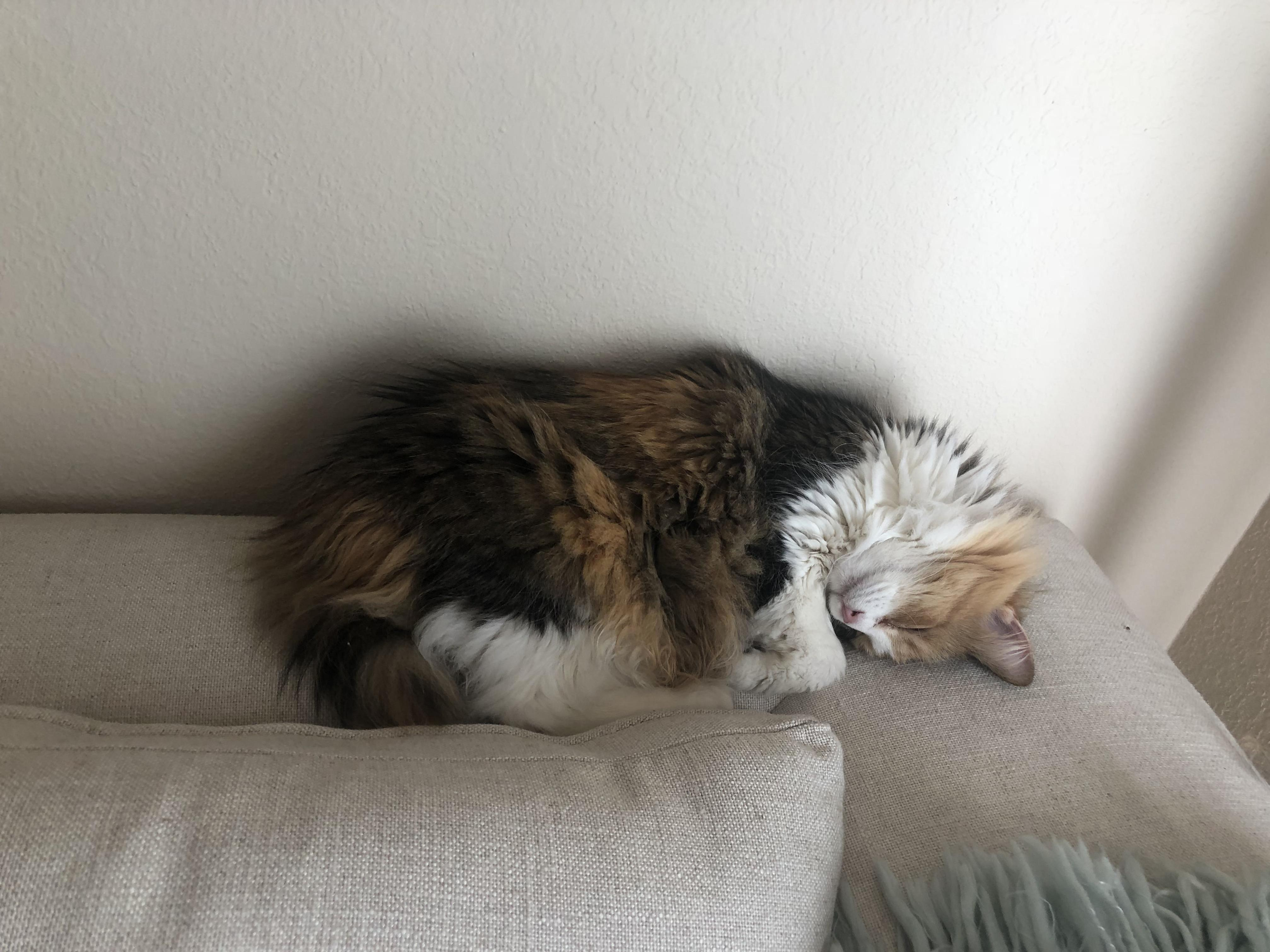 When youre adopted cat crashes on your couch and realizes she is home. reddit, meet callie.