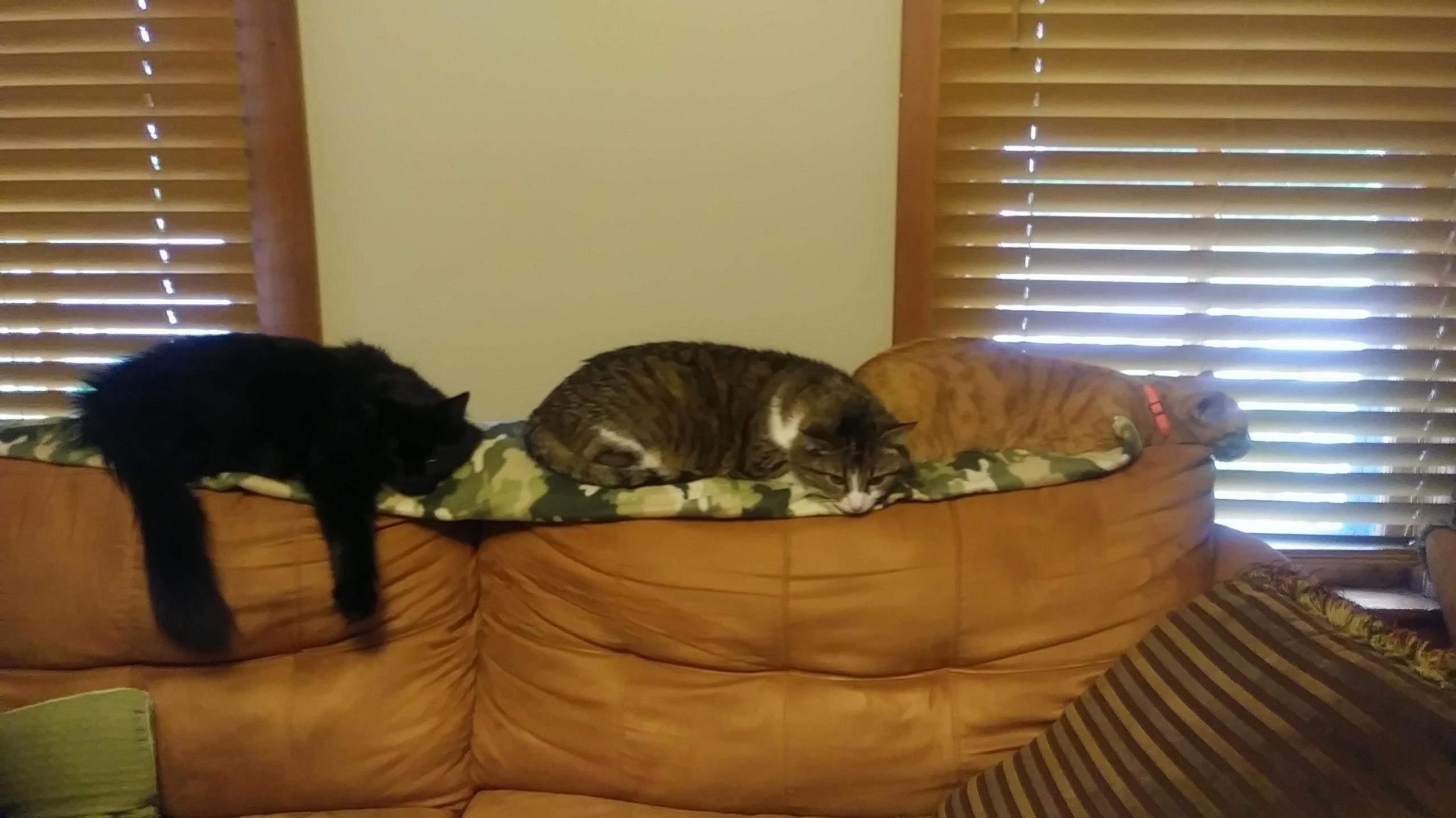 Feline catipede