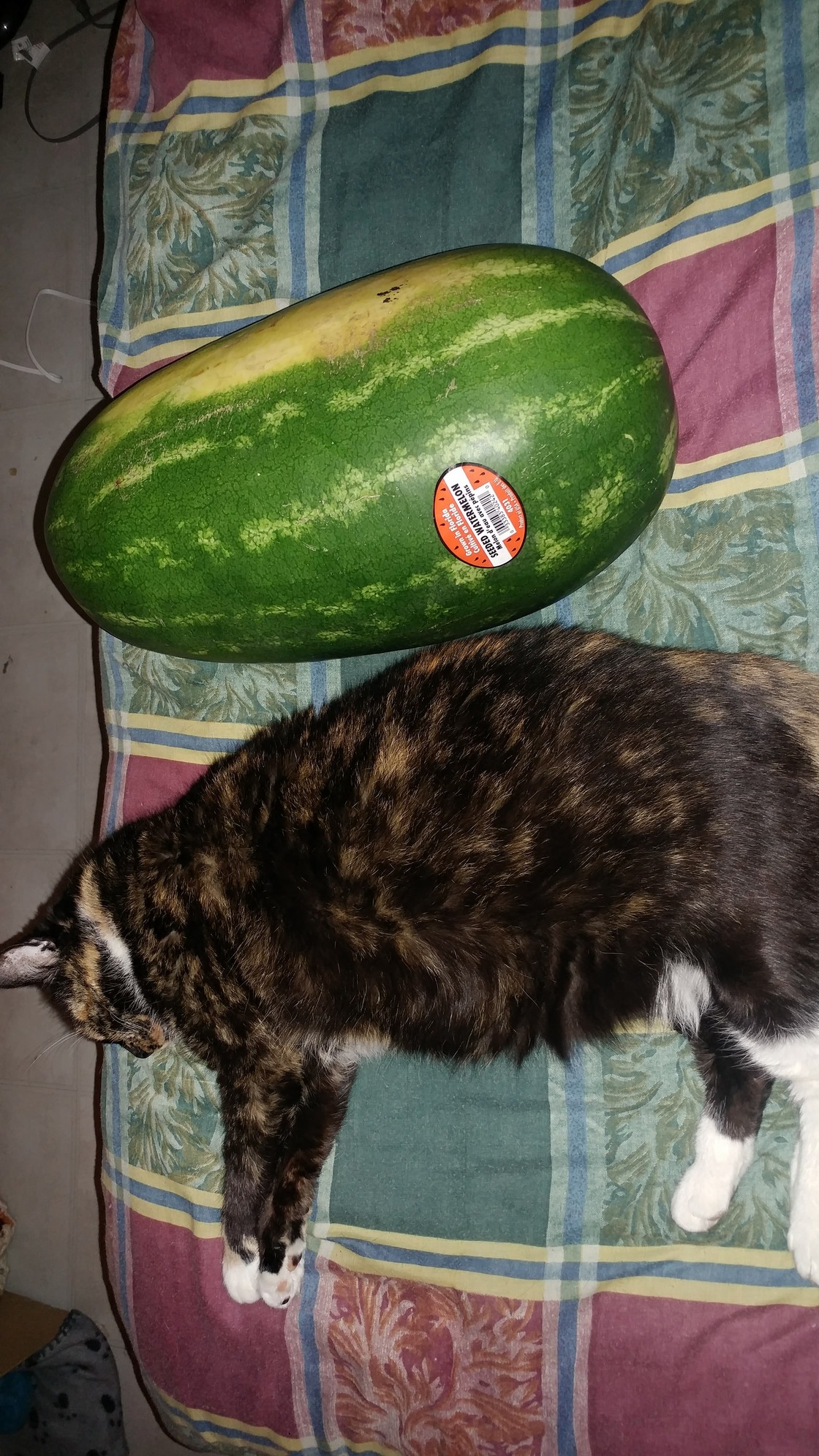 Sheba at 16. her sister passed recently. shes my best friend and then only thing left i care about. jumbo watermelon for scale