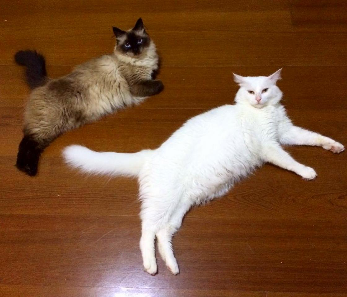 We present you sissi and mingau, the wannabe puma icon furryballs