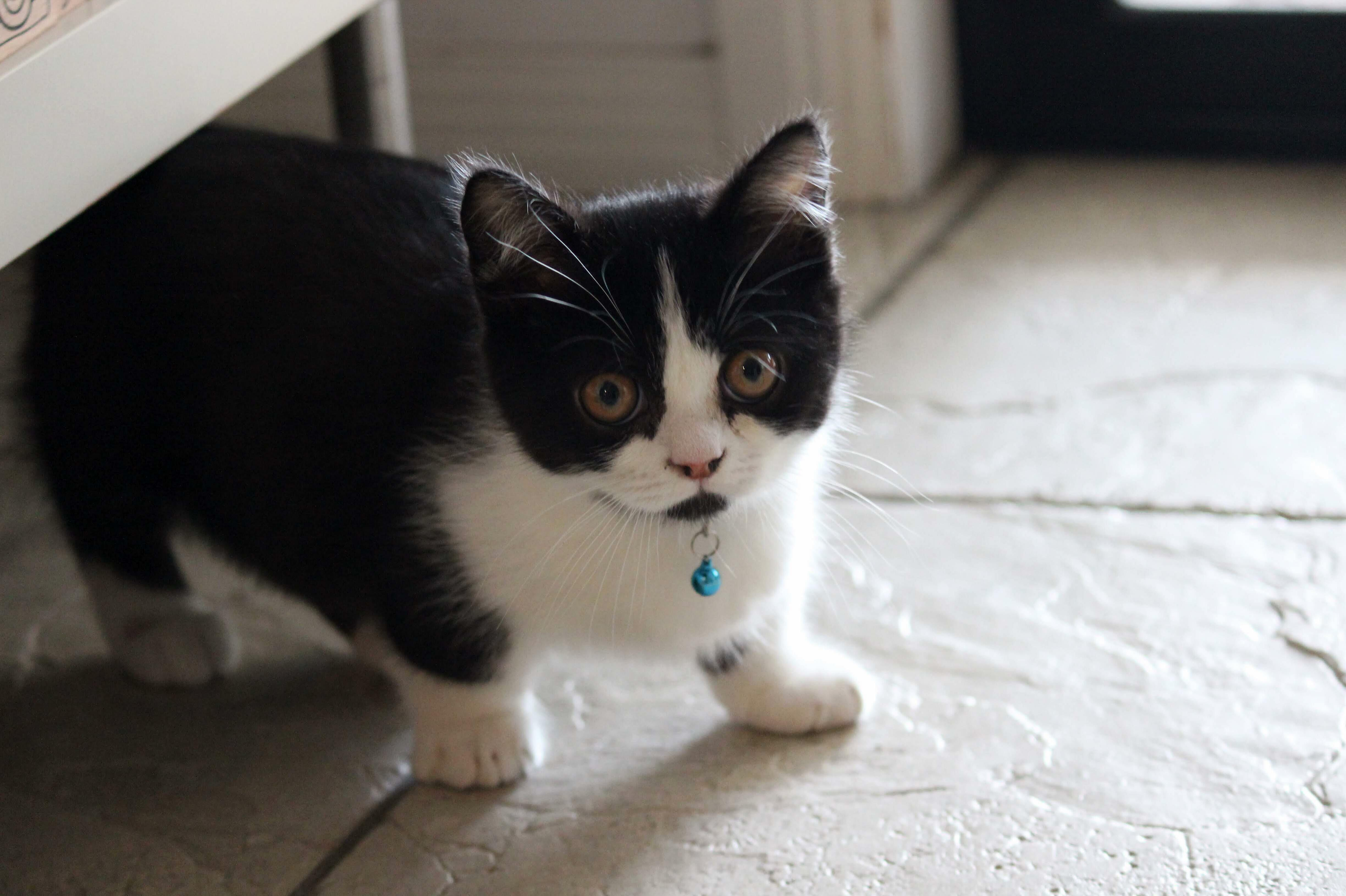 Mighty munchkin, mini kitty. meet bruce; funny, cute and stumpy!