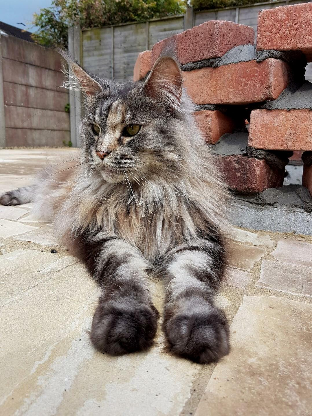 My maine coon