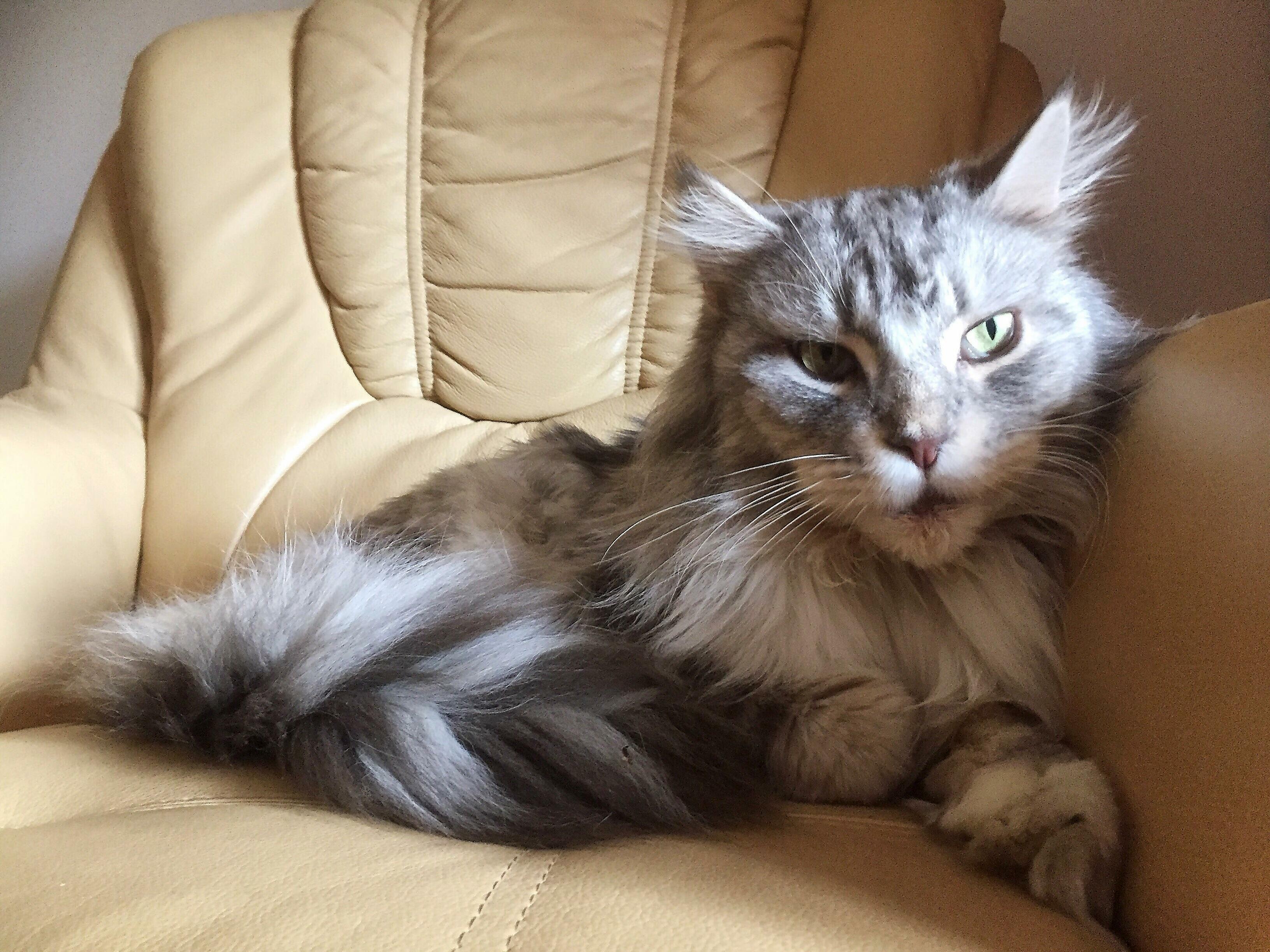Grey floof tiger.